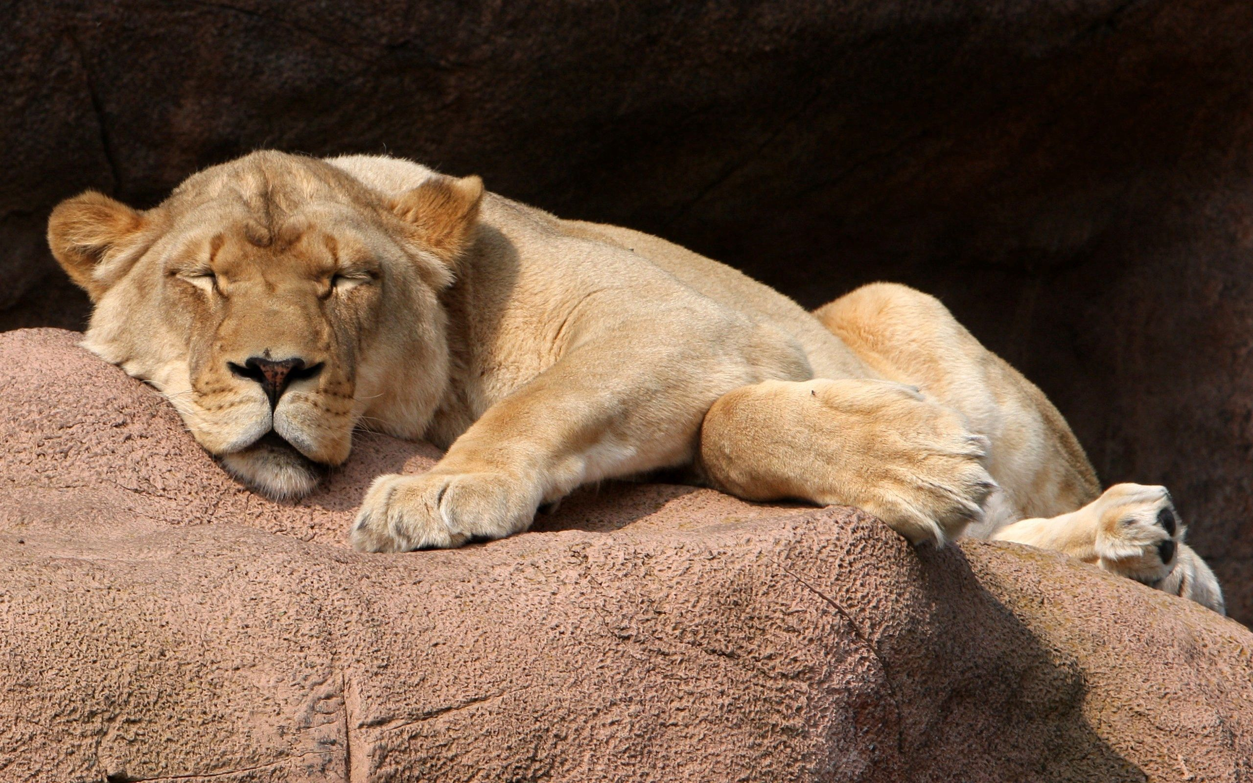 117664 download wallpaper Animals, Lioness, Rock, Stone, To Lie Down, Lie screensavers and pictures for free