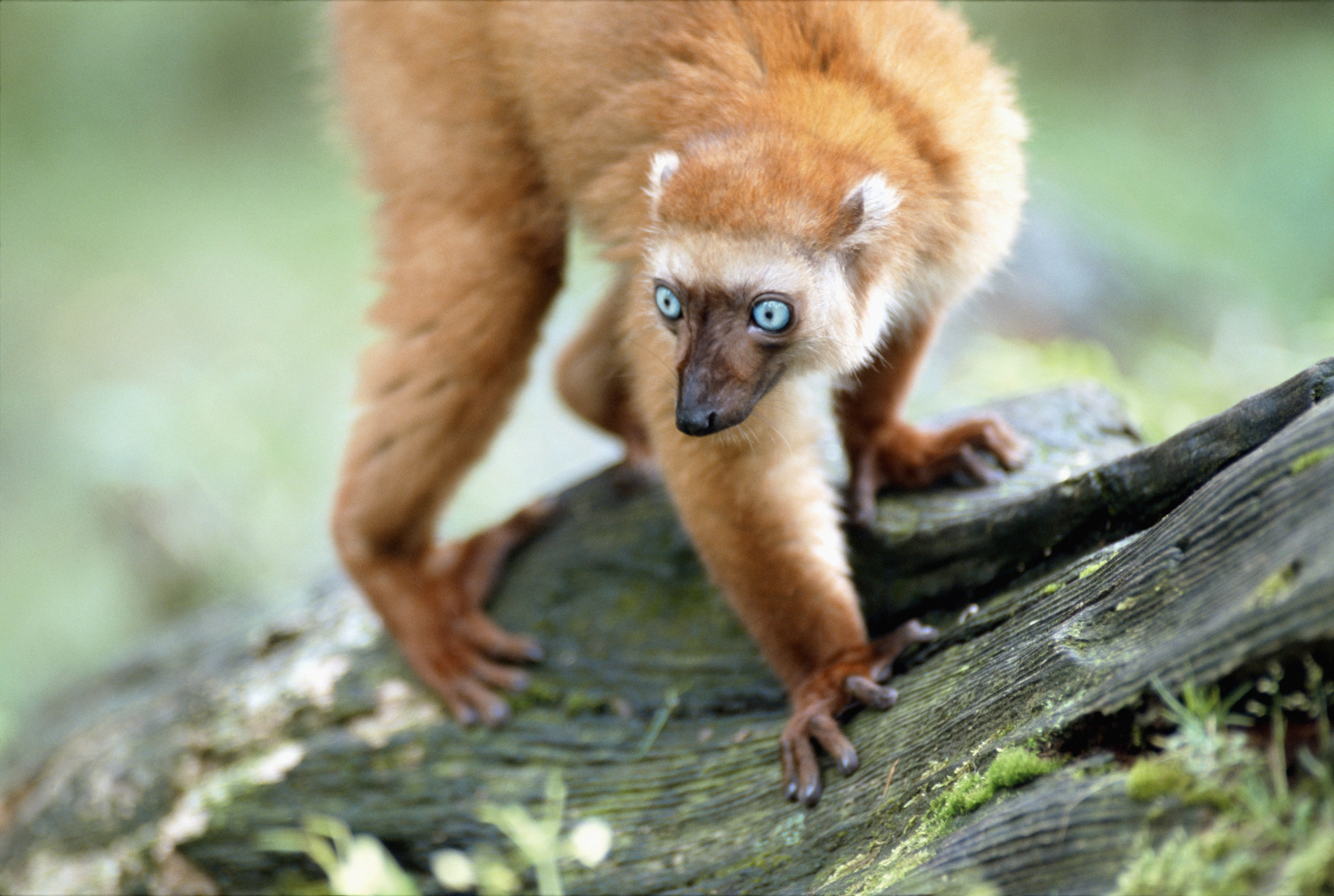 146874 download wallpaper Animals, Lemur, Blue Eyes, Branches, Moss screensavers and pictures for free