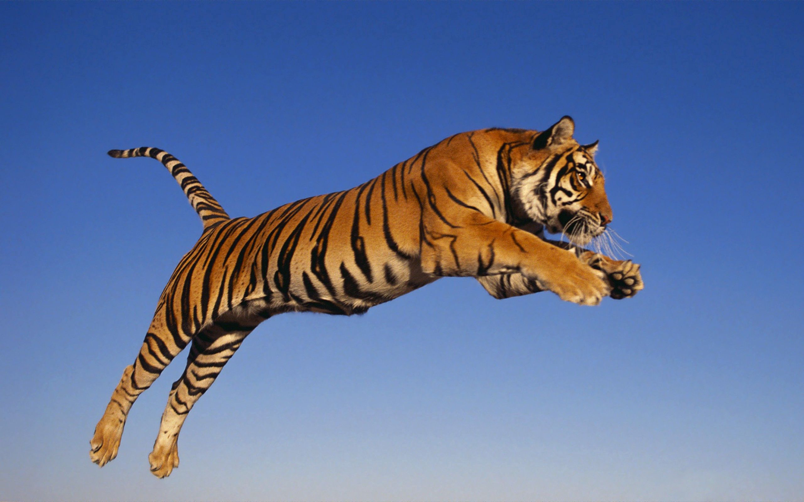 98183 download wallpaper Animals, Tiger, Bounce, Jump, Predator screensavers and pictures for free
