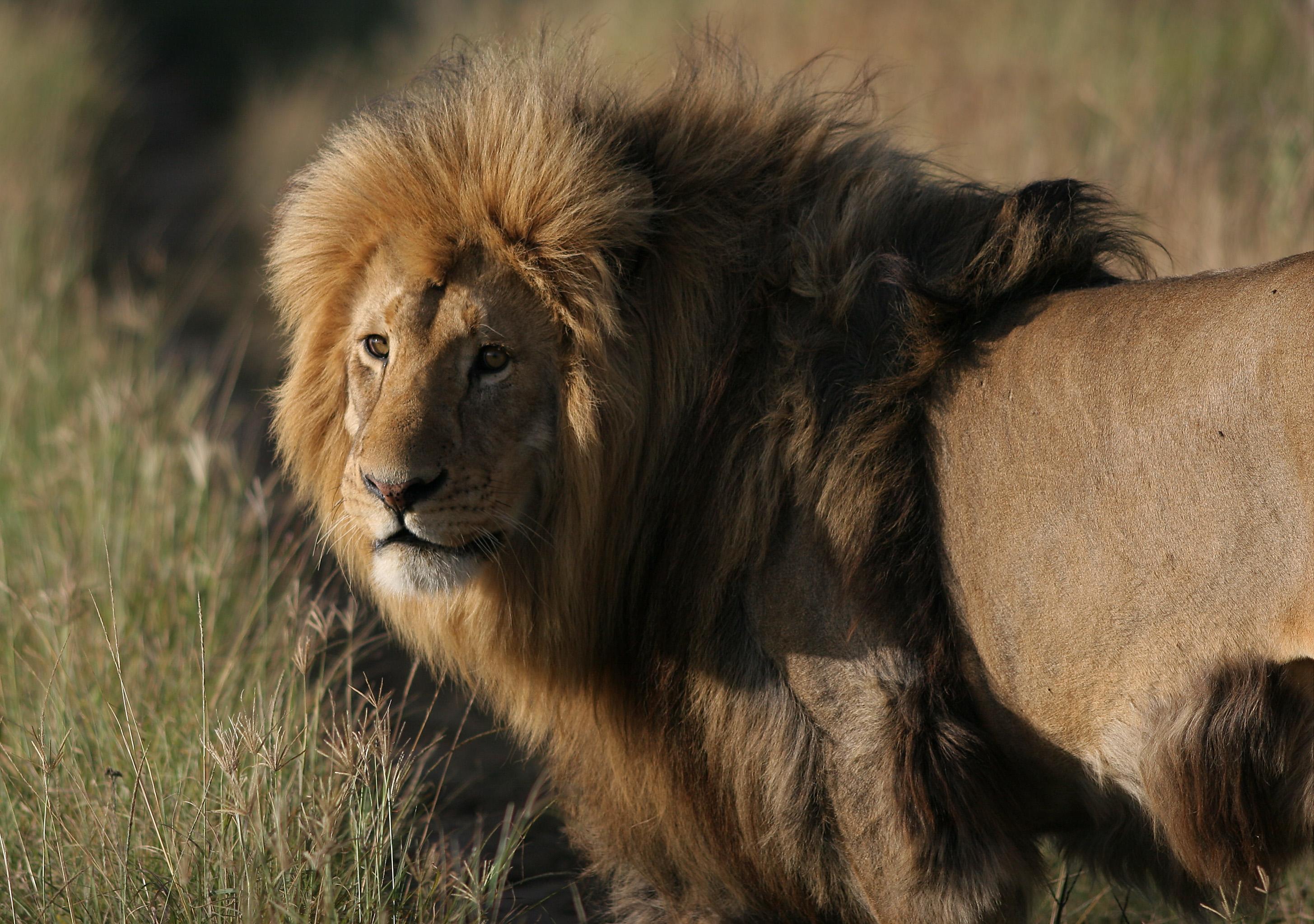 70403 Protetores de tela e papéis de parede Rei Das Feras em seu telefone. Baixe Animais, Leão, Um Leão, Predator, Predador, Gato Grande, Juba, Rei Das Feras, Rei Das Bestas fotos gratuitamente