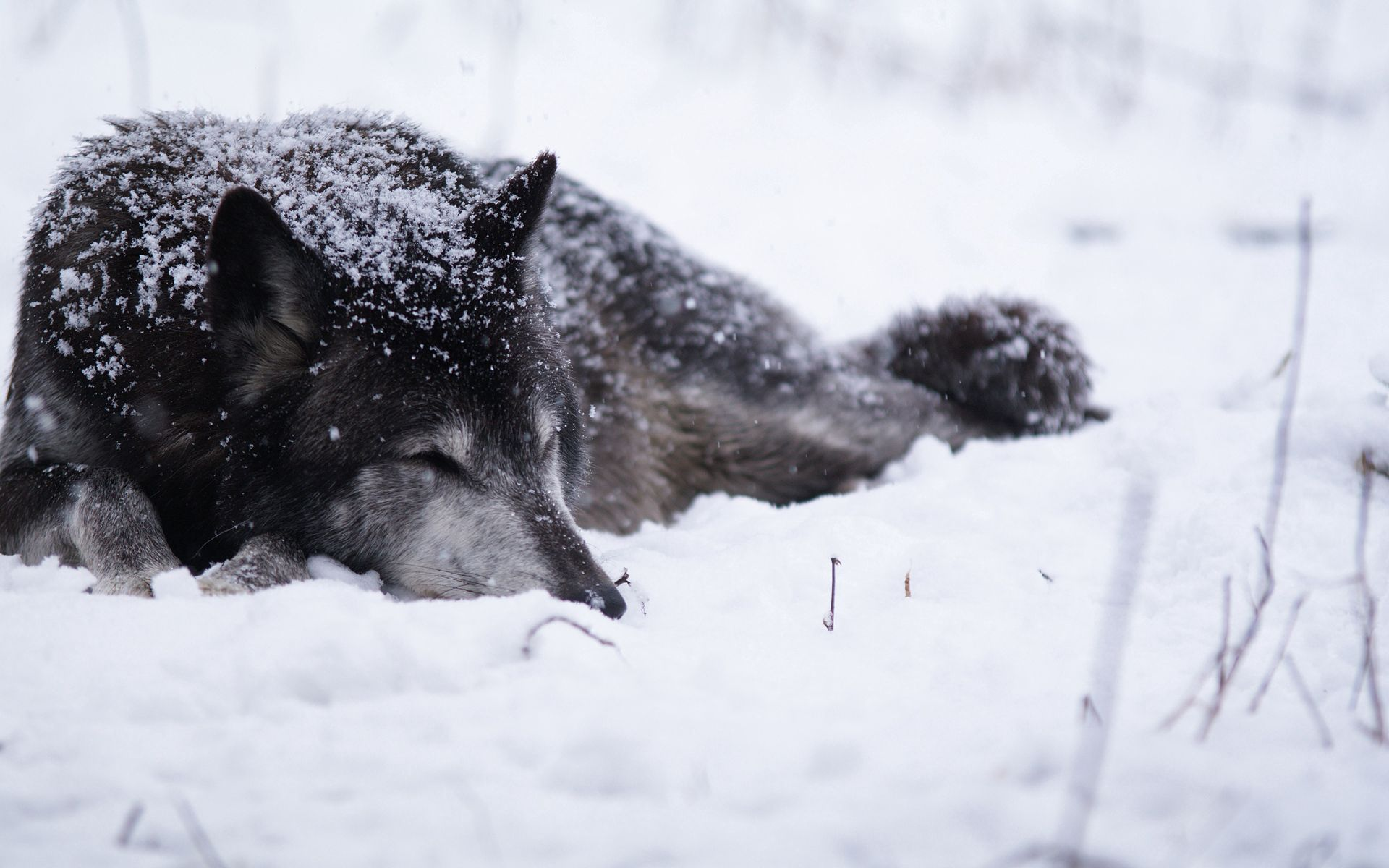 104525 download wallpaper Animals, Wolf, Snow, Snowstorm, Cold, Bask, Bw, Chb screensavers and pictures for free