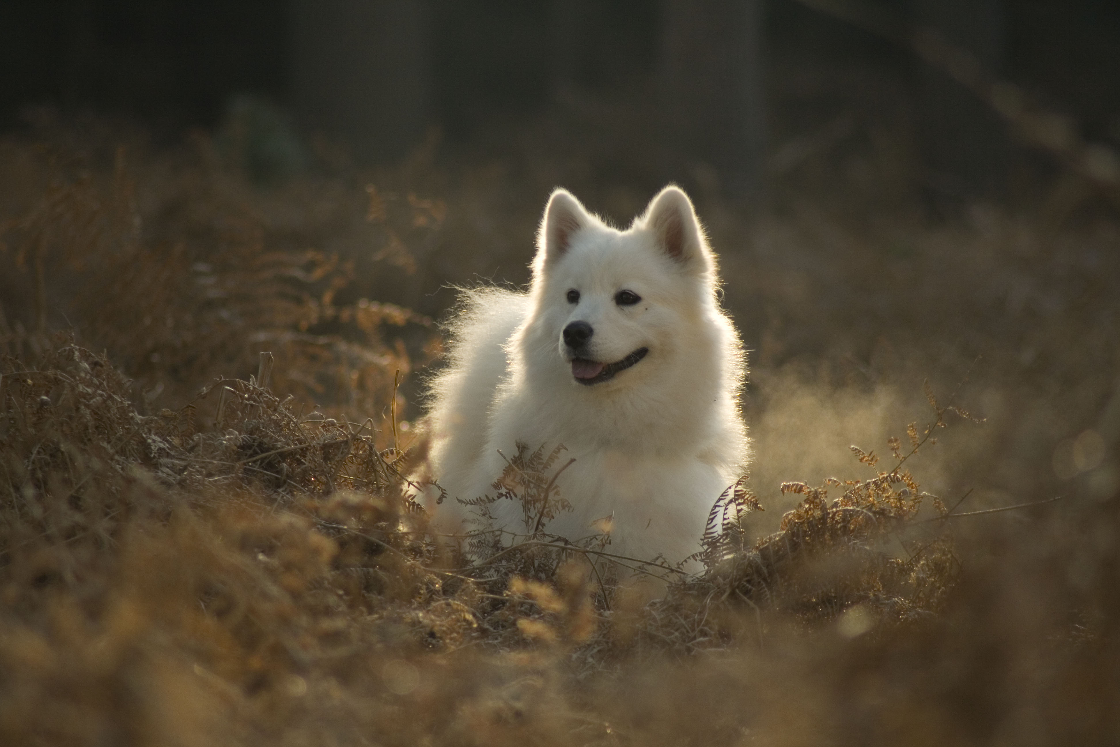 78794 Screensavers and Wallpapers Protruding Tongue for phone. Download Animals, Samoyed Dog, Dog Of The Year, Dog, Nice, Sweetheart, Protruding Tongue, Tongue Stuck Out pictures for free