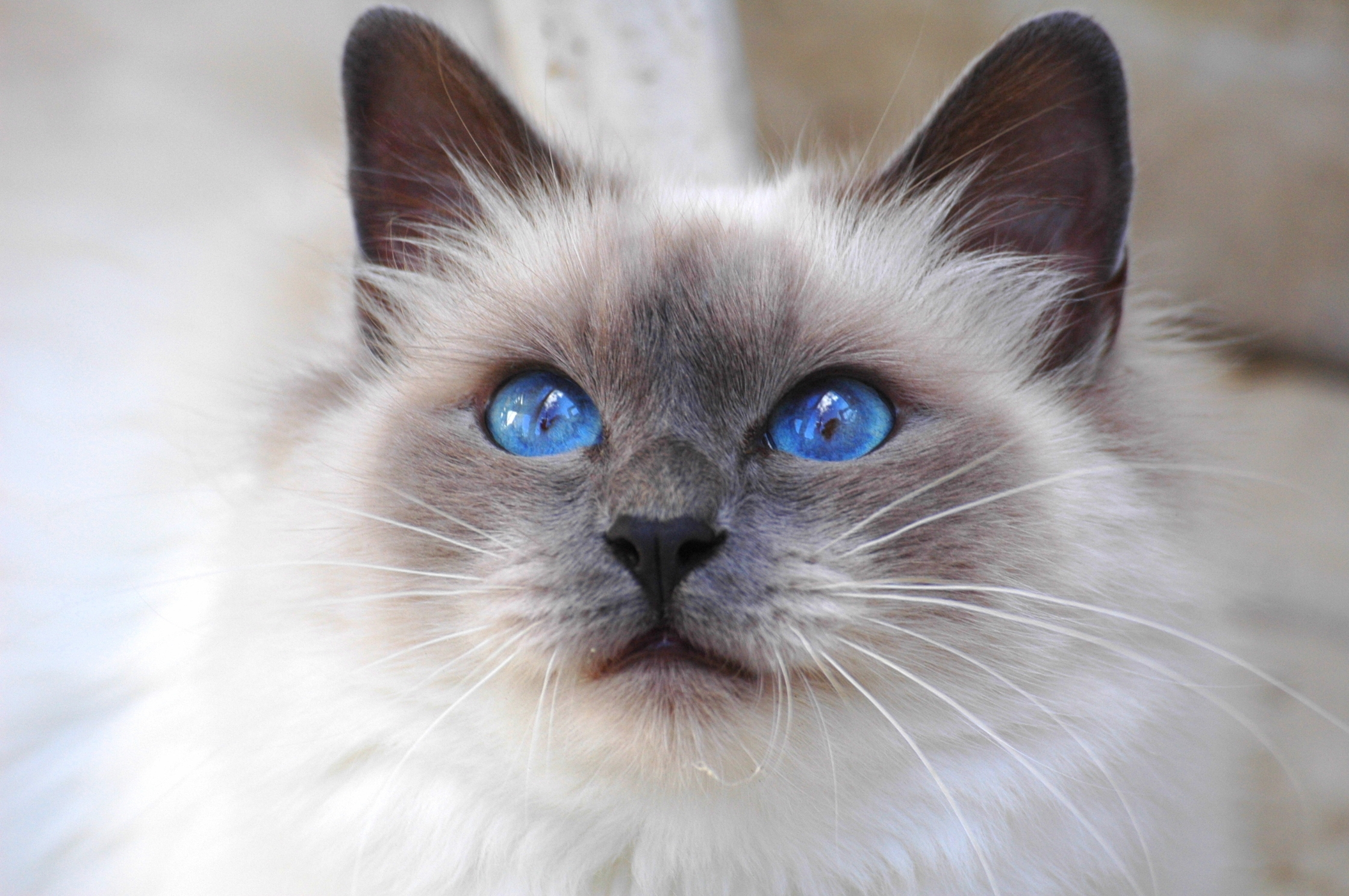 104746 download wallpaper Cat, Animals, Fluffy, Muzzle, Color, Sight, Opinion, Nice, Sweetheart, Blue Eyed, Blue-Eyed screensavers and pictures for free