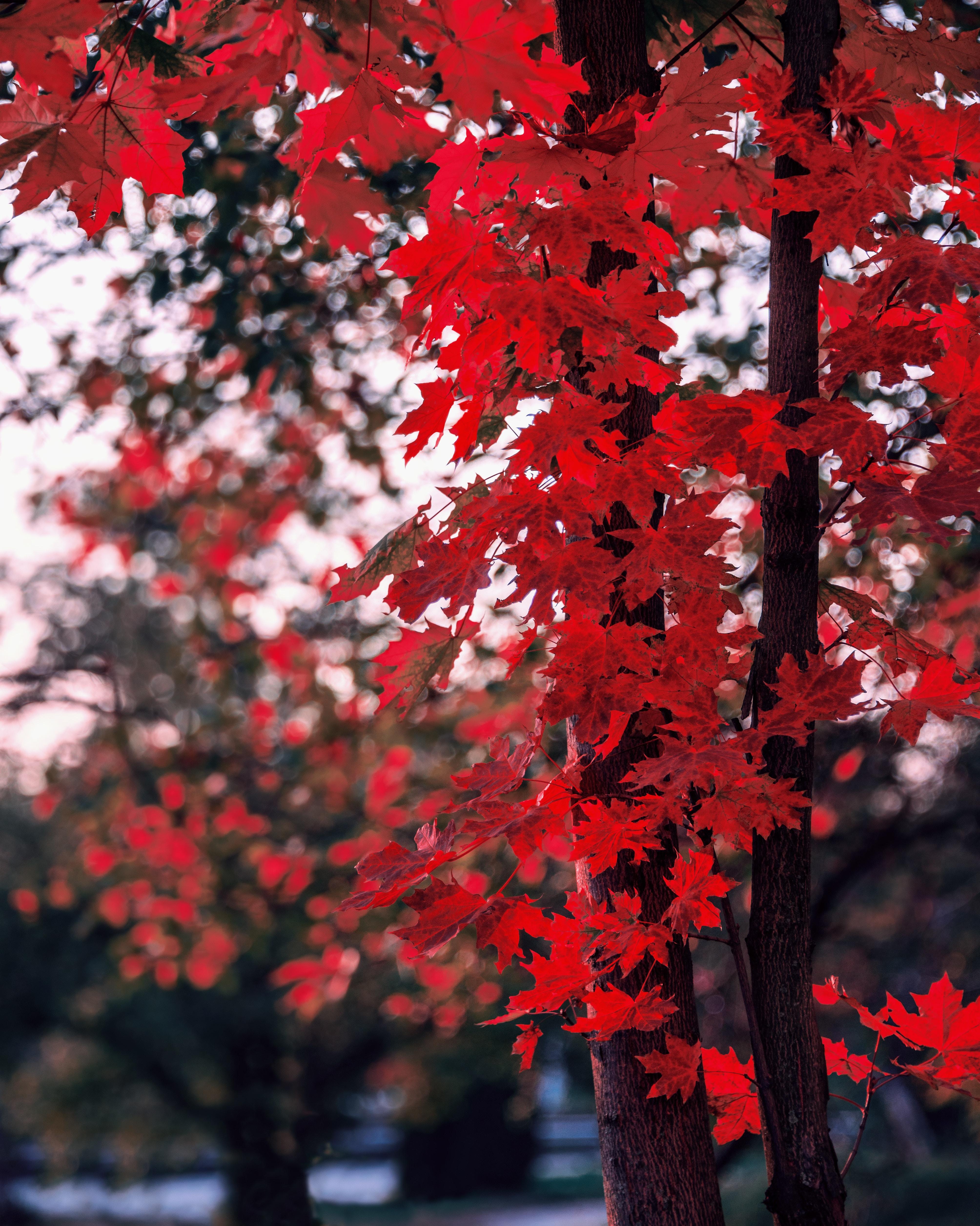 155069 скачать обои Природа, Клен, Листья, Осень, Дерево, Ветки, Размытость - заставки и картинки бесплатно