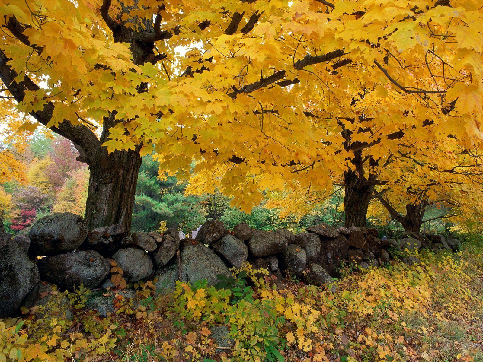 101346 скачать обои Листья, Осень, Природа, Деревья - заставки и картинки бесплатно