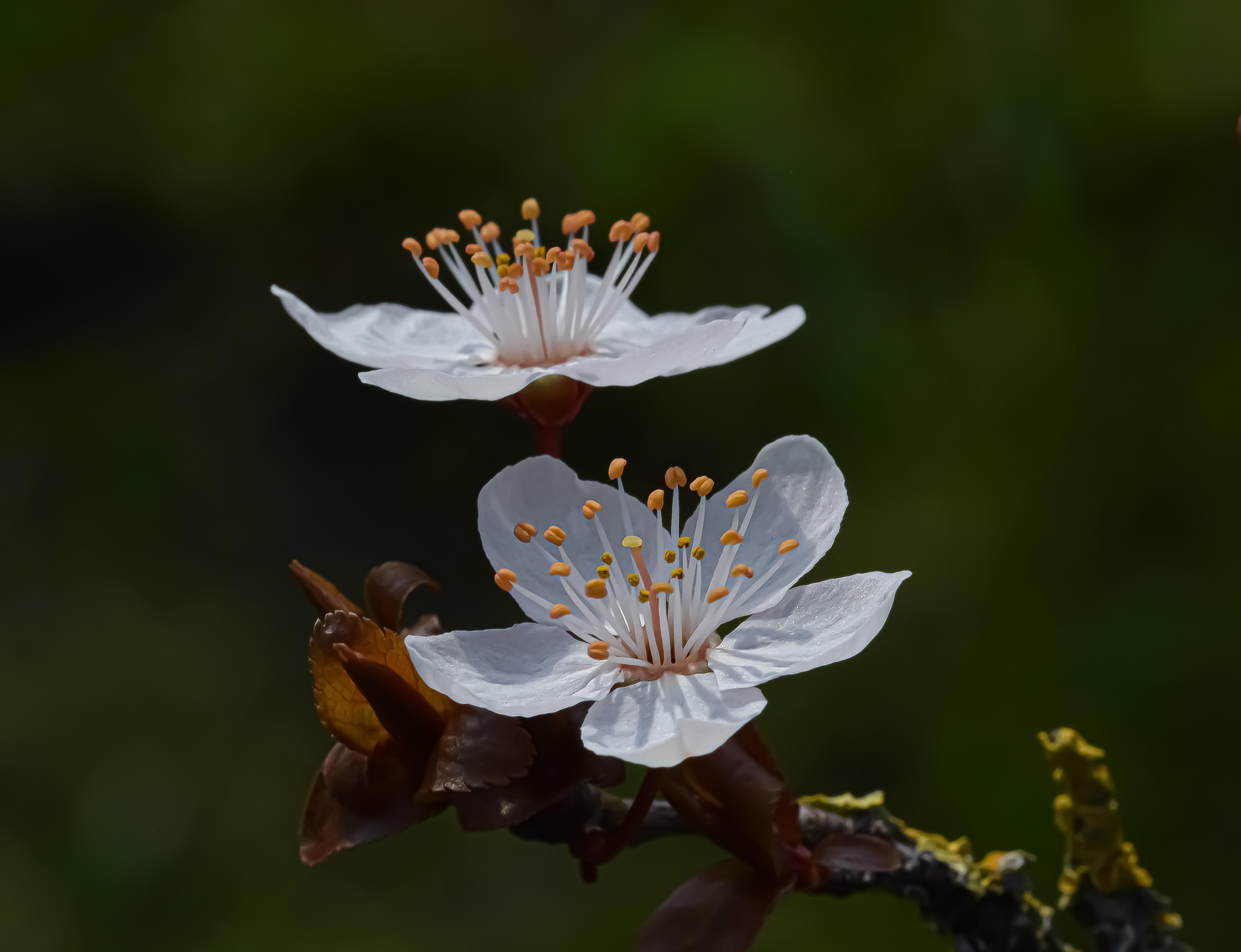 113902 скачать обои Вишня, Ветка, Цветы, Макро, Лепестки, Весна - заставки и картинки бесплатно