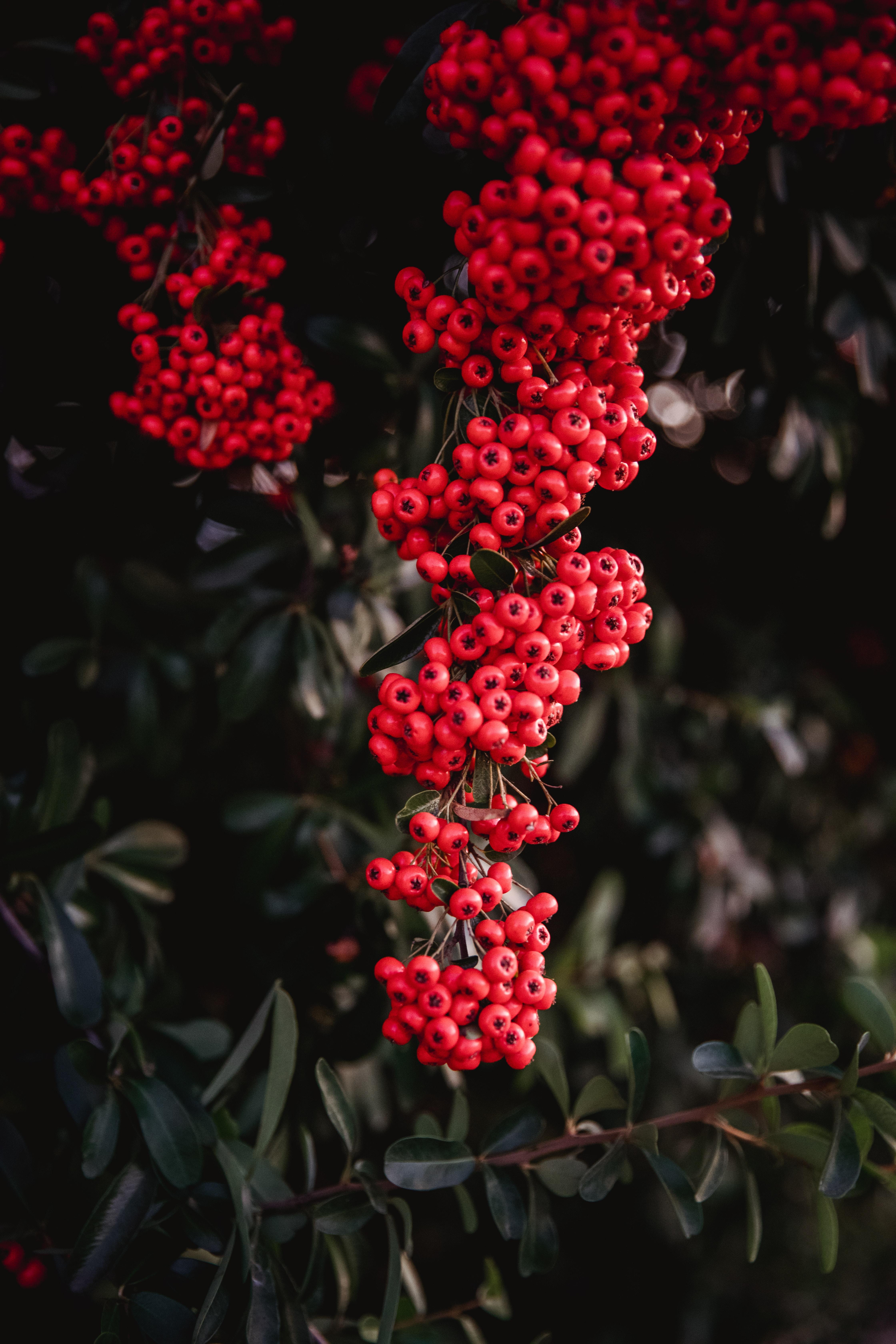 60497 скачать обои Природа, Рябина, Красный, Грозди, Растение, Ягоды - заставки и картинки бесплатно