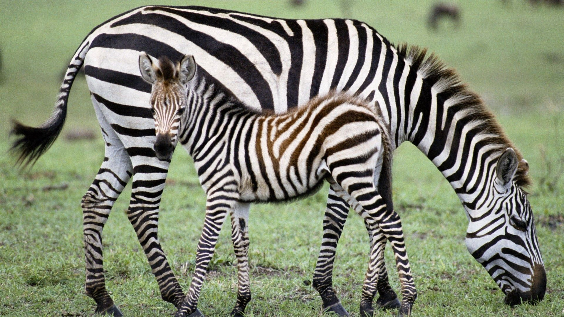 148989 download wallpaper Animals, Zebra, Young, Joey, Grass, Food screensavers and pictures for free