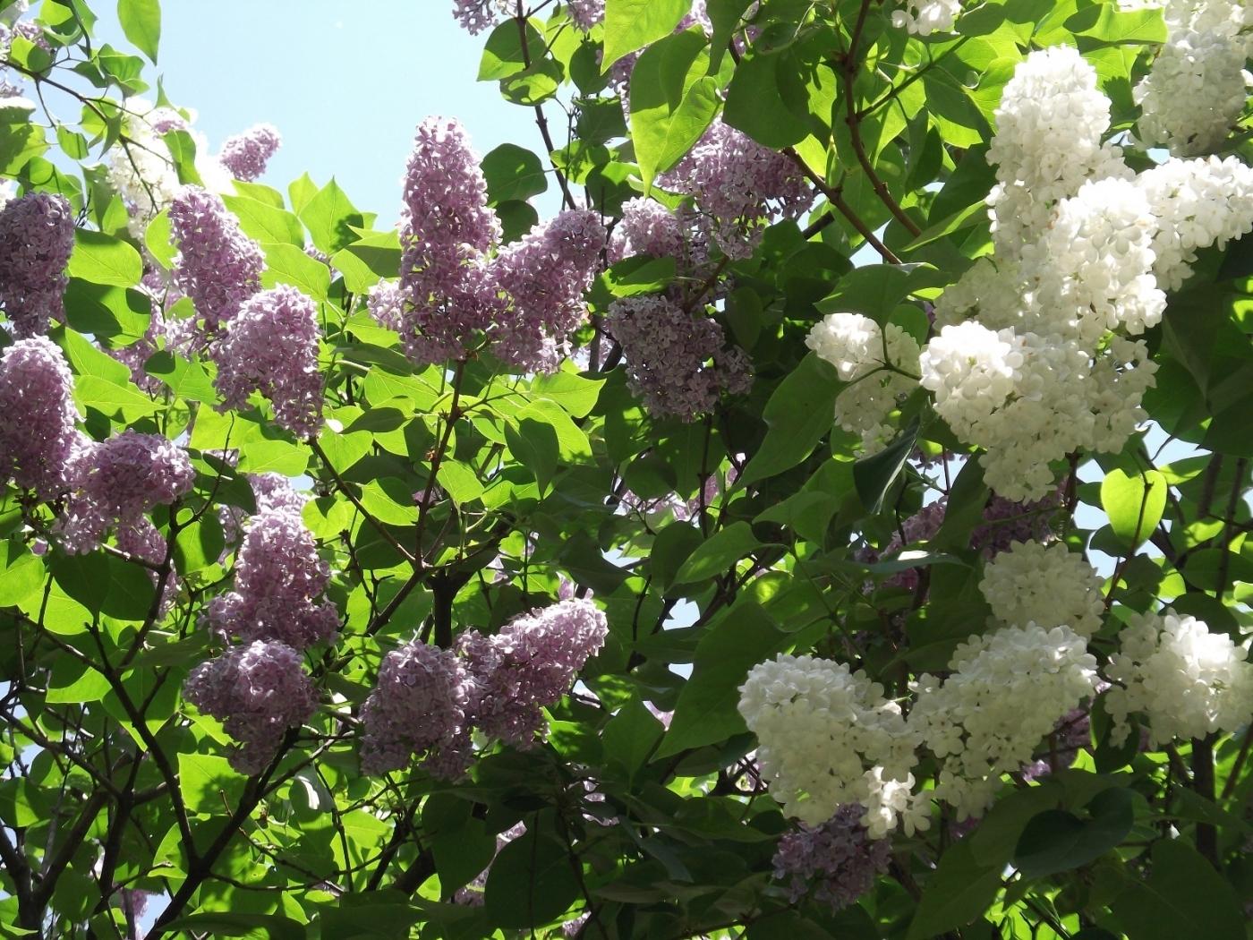 23401 descargar fondo de pantalla Plantas, Flores, Árboles, Lila: protectores de pantalla e imágenes gratis
