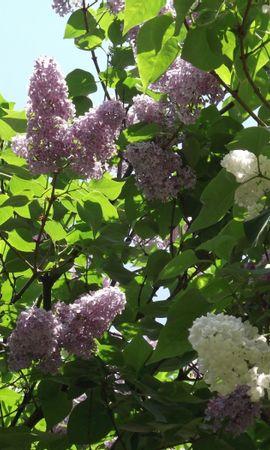 23401 télécharger le fond d'écran Plantes, Fleurs, Arbres, Lilas - économiseurs d'écran et images gratuitement
