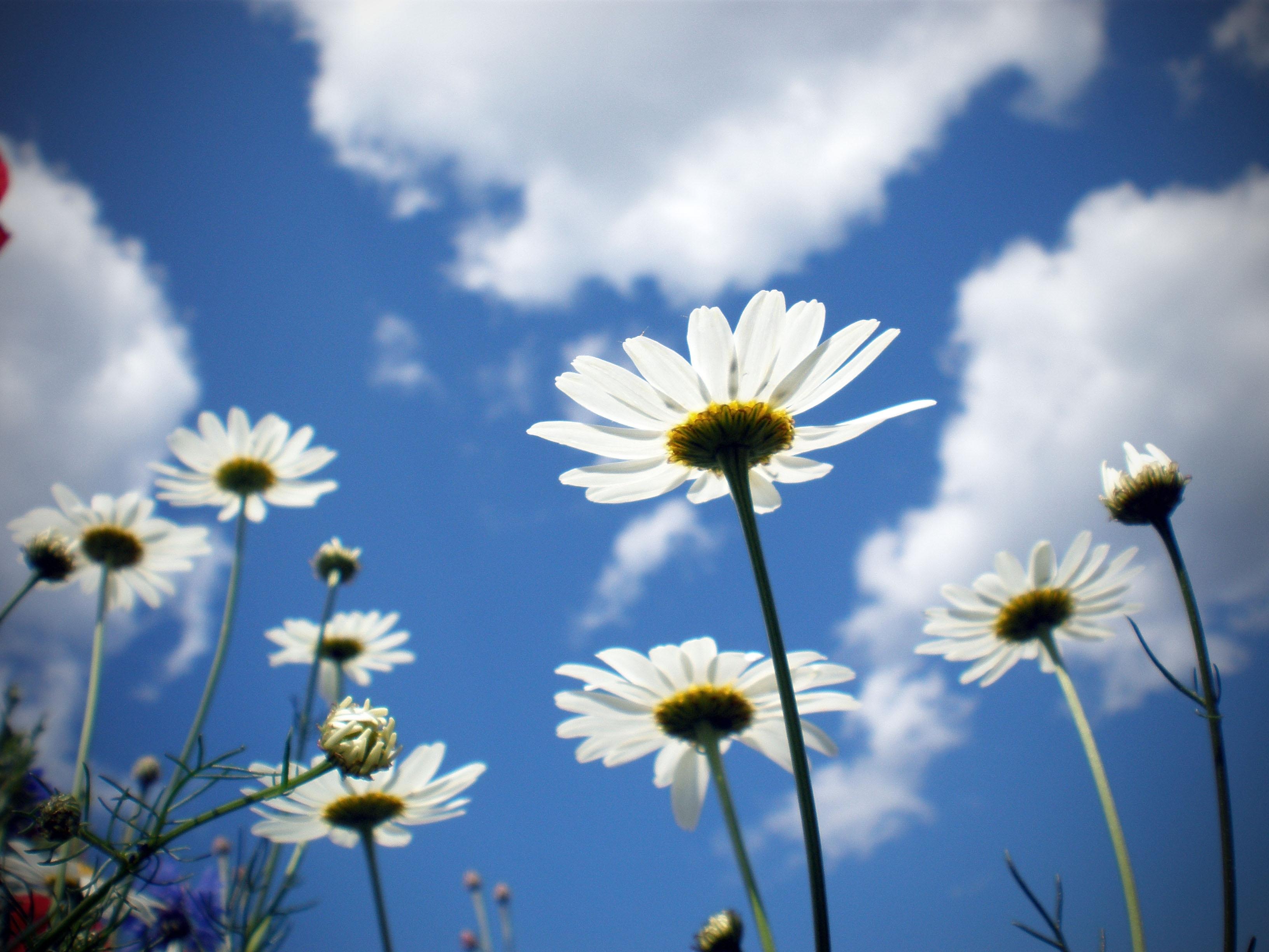 97639 скачать обои Цветы, Ромашки, Поле, Небо, Облака, Ясно, Солнечно - заставки и картинки бесплатно