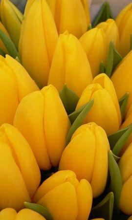 36220 скачать Желтые обои на телефон бесплатно, Растения, Цветы, Тюльпаны Желтые картинки и заставки на мобильный