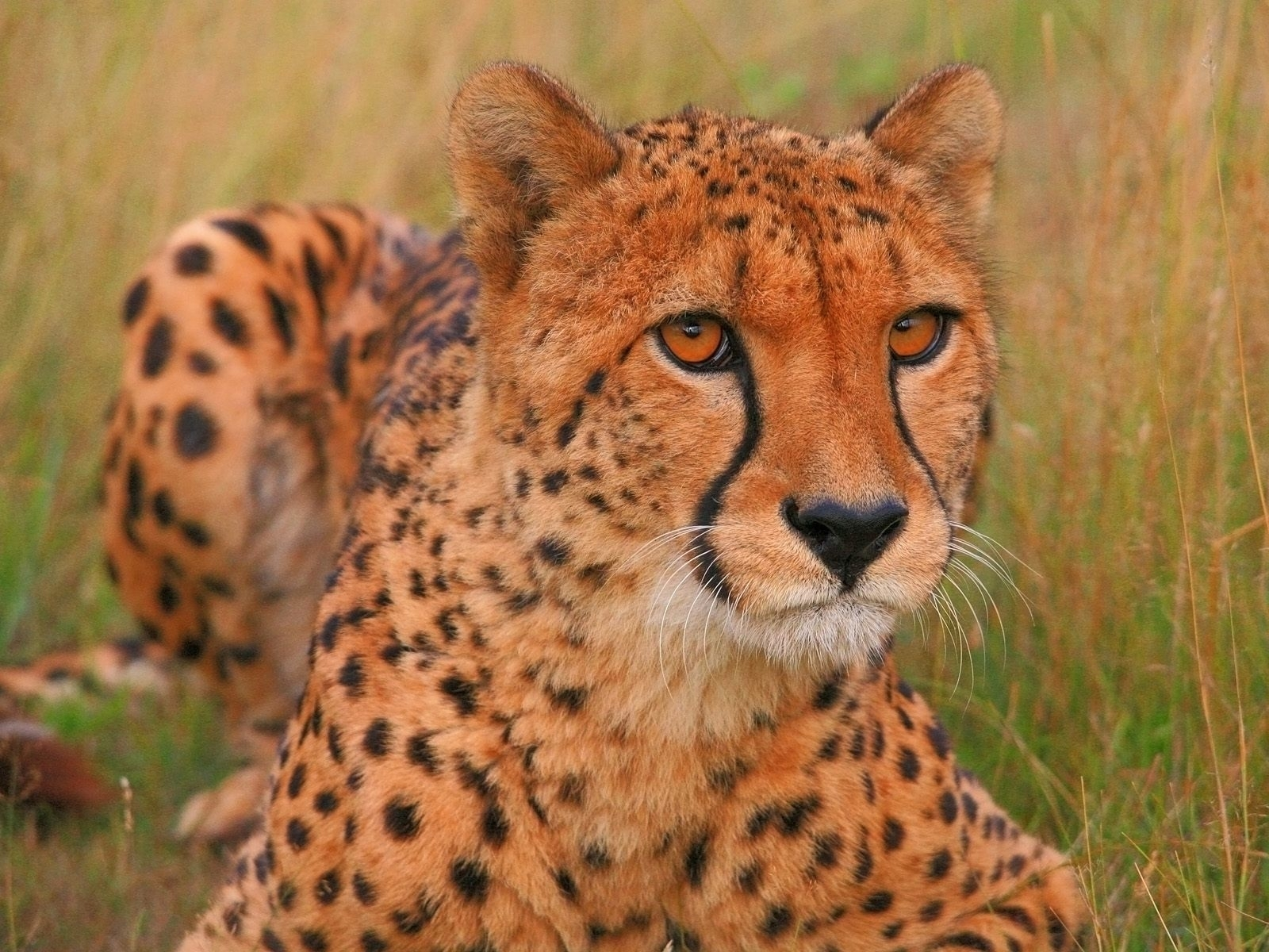 3026 download wallpaper Animals, Cheetah screensavers and pictures for free