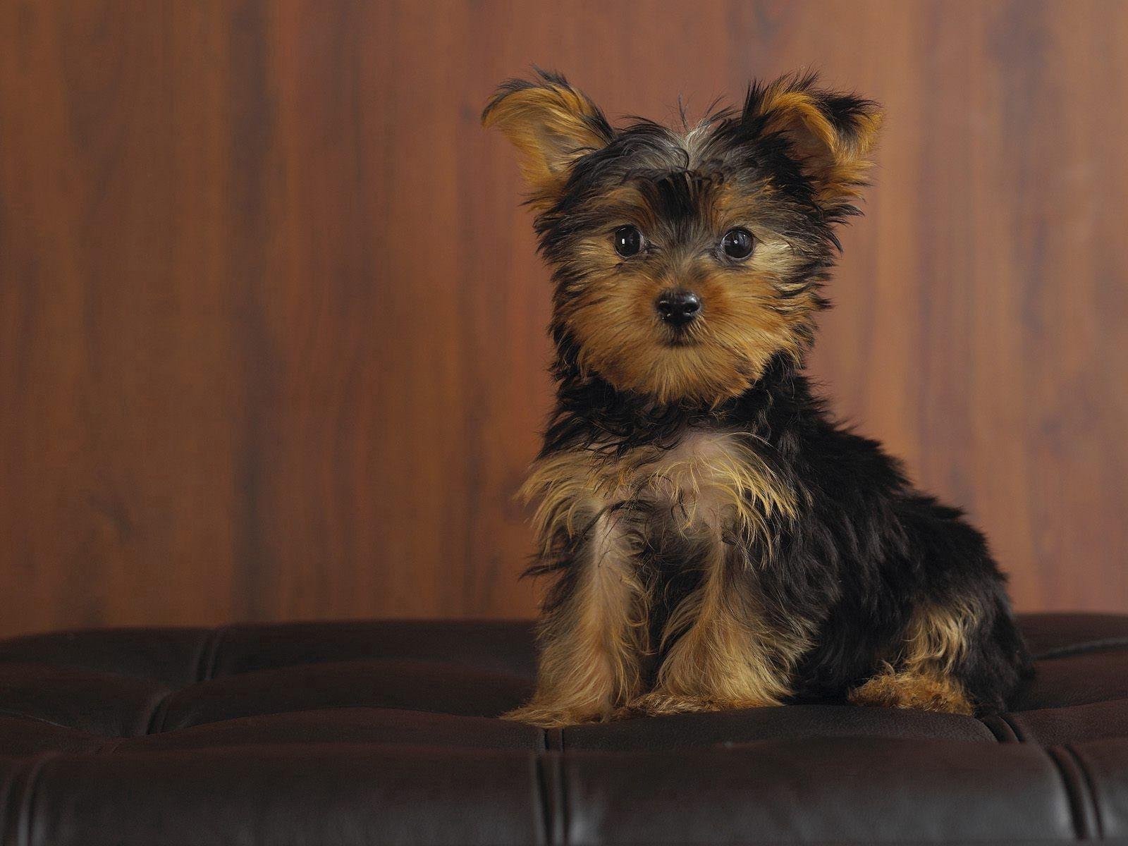 50930 скачать обои Собака, Животные, Взгляд, Щенок, Йоркширский Терьер - заставки и картинки бесплатно