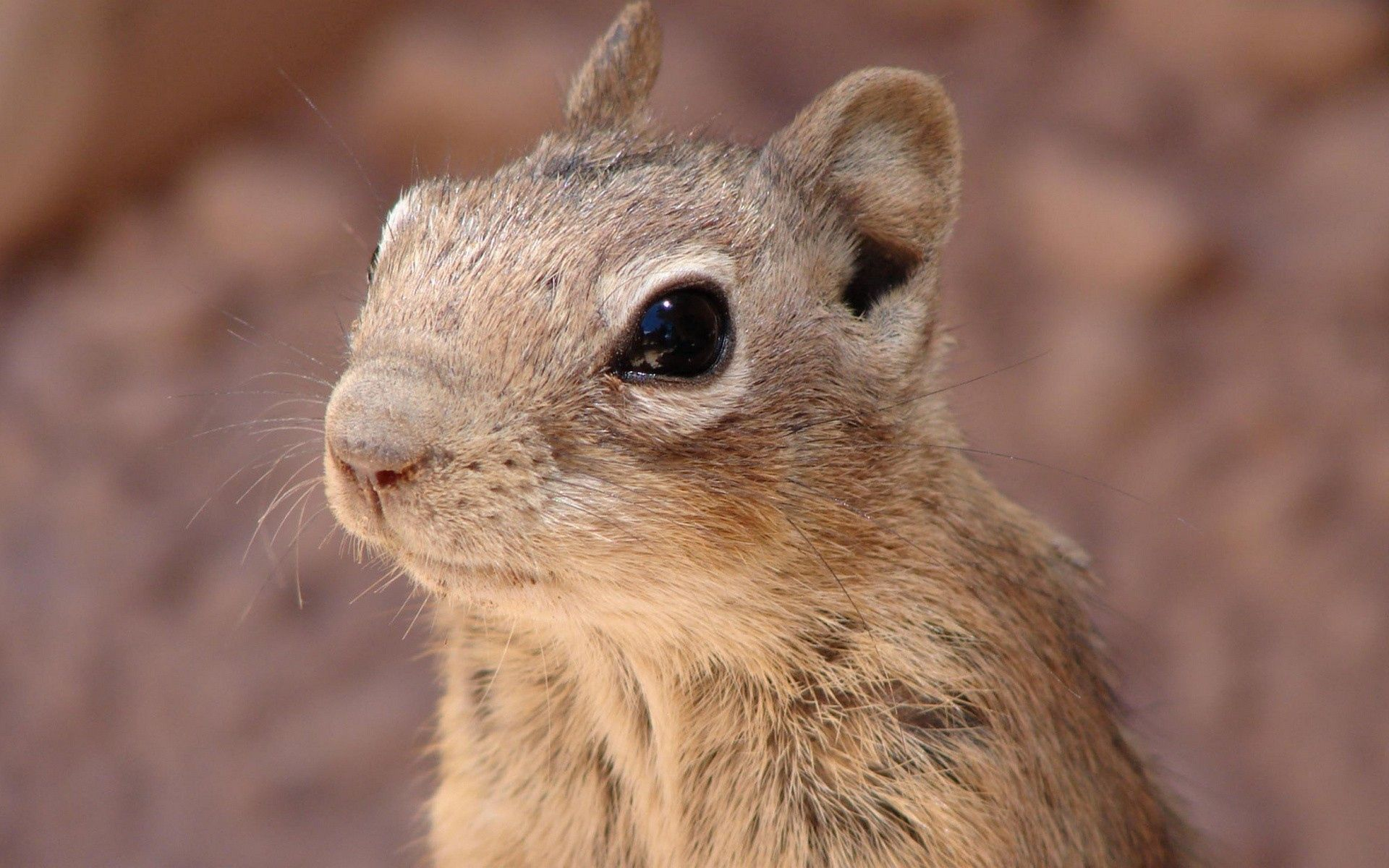 92580 download wallpaper Animals, Rodent, Gopher, Chipmunk, Face screensavers and pictures for free