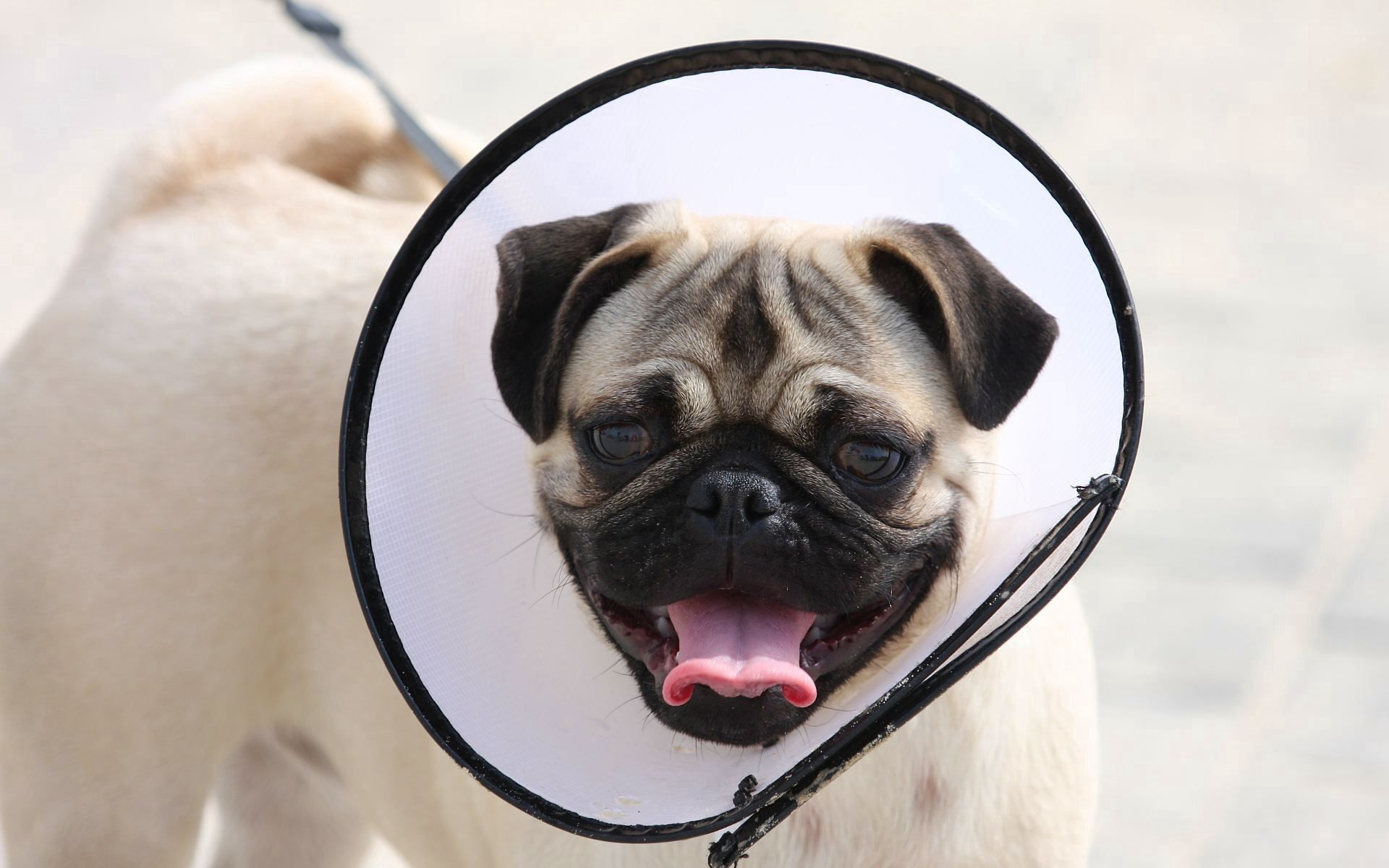 61952 Screensavers and Wallpapers Pug for phone. Download Animals, Dog, Muzzle, Pug, Elizabethan Collar pictures for free