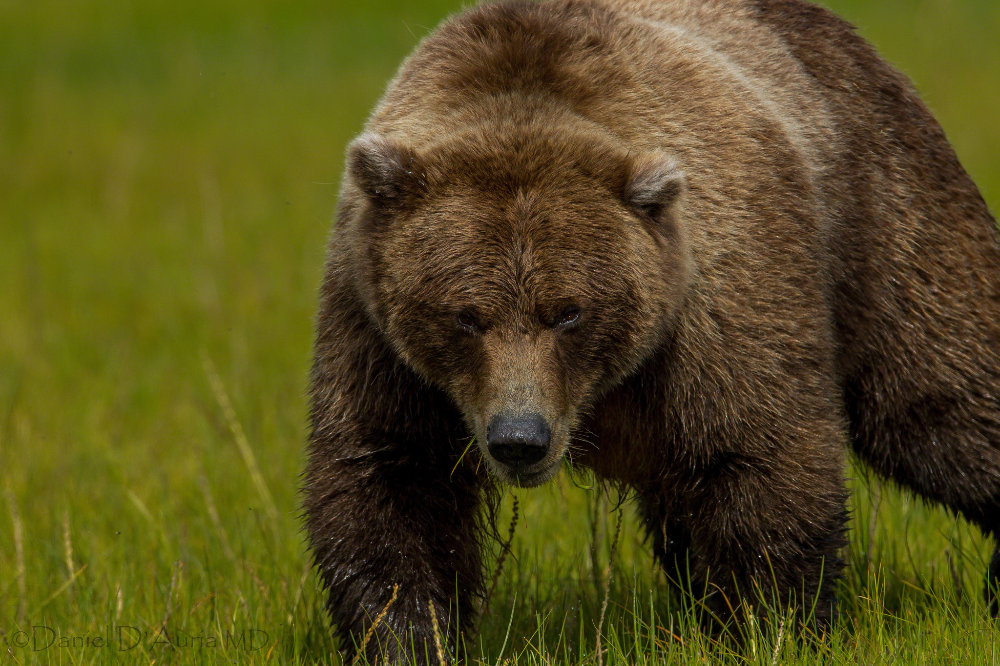 141607 download wallpaper Animals, Grass, Bear, Fat, Thick, Brown Bear screensavers and pictures for free