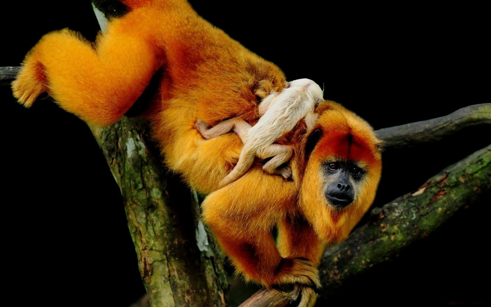 30614 Screensavers and Wallpapers Monkeys for phone. Download Animals, Monkeys pictures for free
