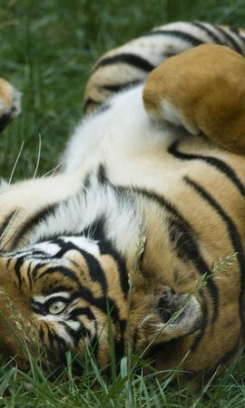 157446 download wallpaper Animals, Tiger, Grass, To Lie Down, Lie, Big Cat, Predator, Playful screensavers and pictures for free