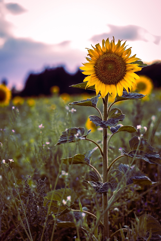 61754 免費下載壁紙 花卉, 向日葵, 盛开, 开花, 场地, 字段, 草 屏保和圖片