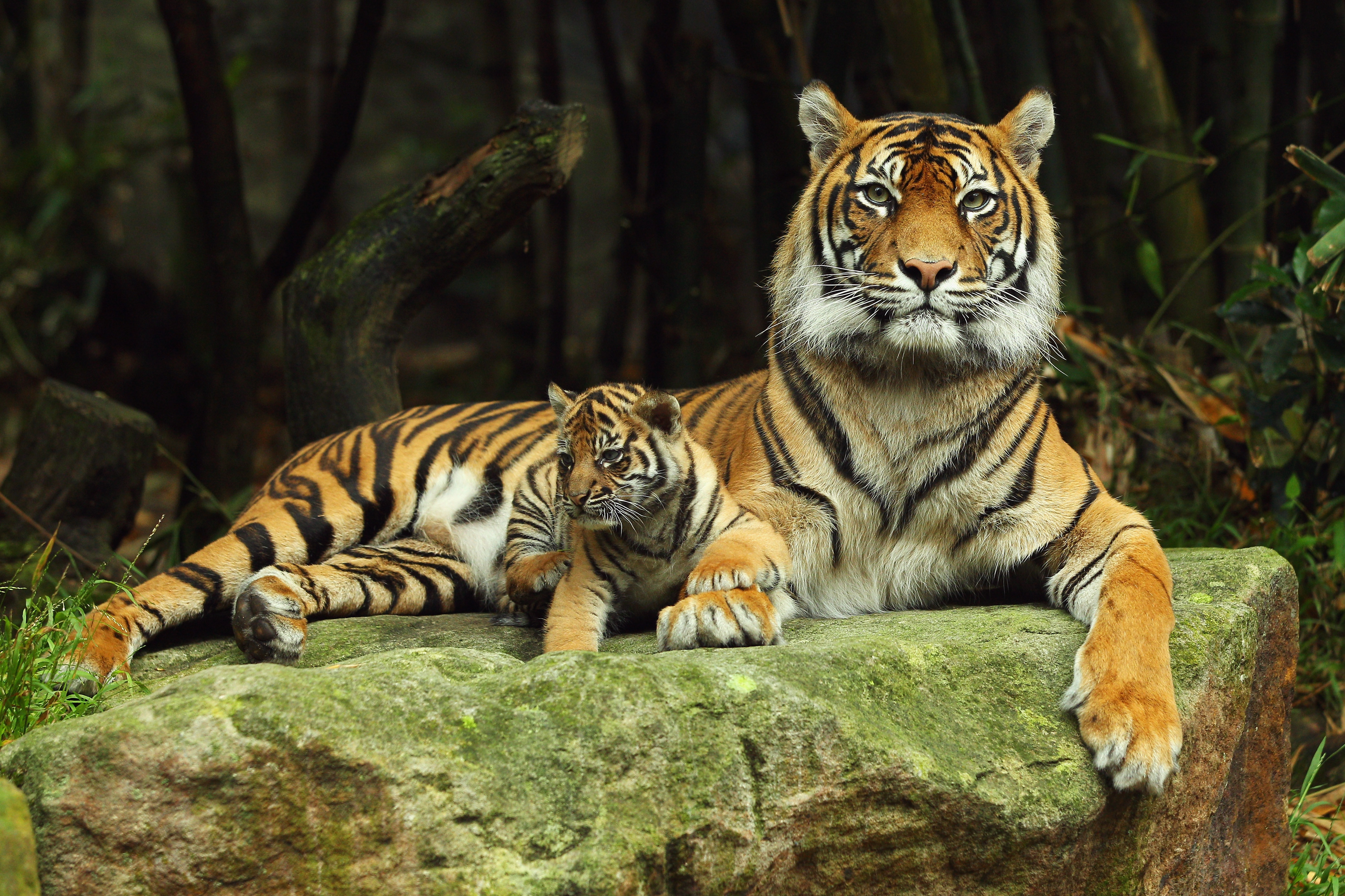 69868 download wallpaper Animals, Tiger, Tiger Cub, To Lie Down, Lie, Couple, Pair, Care screensavers and pictures for free