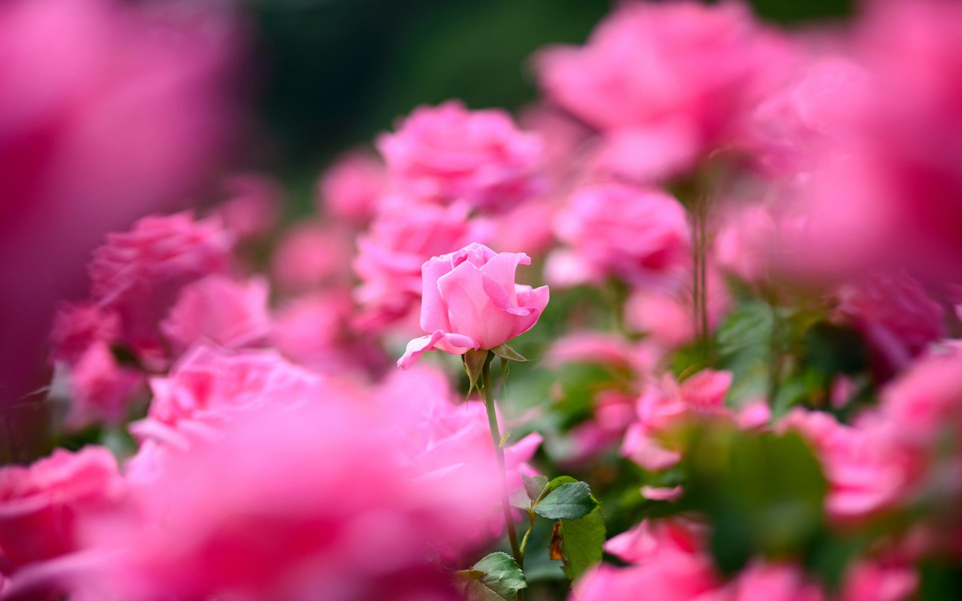 49572 скачать обои Растения, Цветы, Розы - заставки и картинки бесплатно