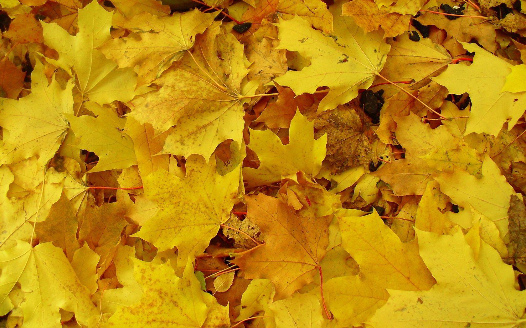 85990 обои 1125x2436 на телефон бесплатно, скачать картинки Фон, Природа, Листья, Земля, Желтый, Кленовые 1125x2436 на мобильный