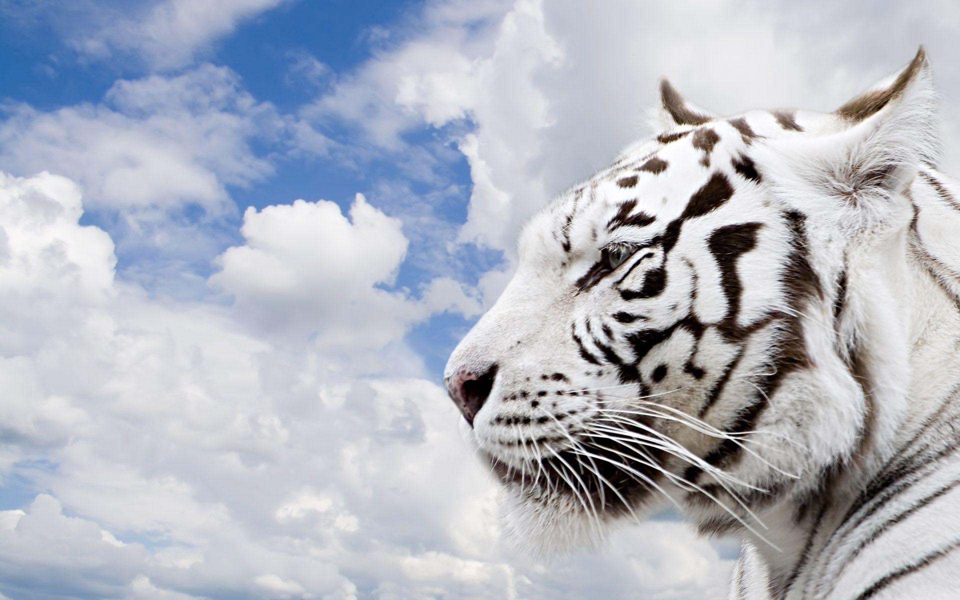 88349 скачать обои Животные, Тигр, Альбинос, Морда, Профиль - заставки и картинки бесплатно