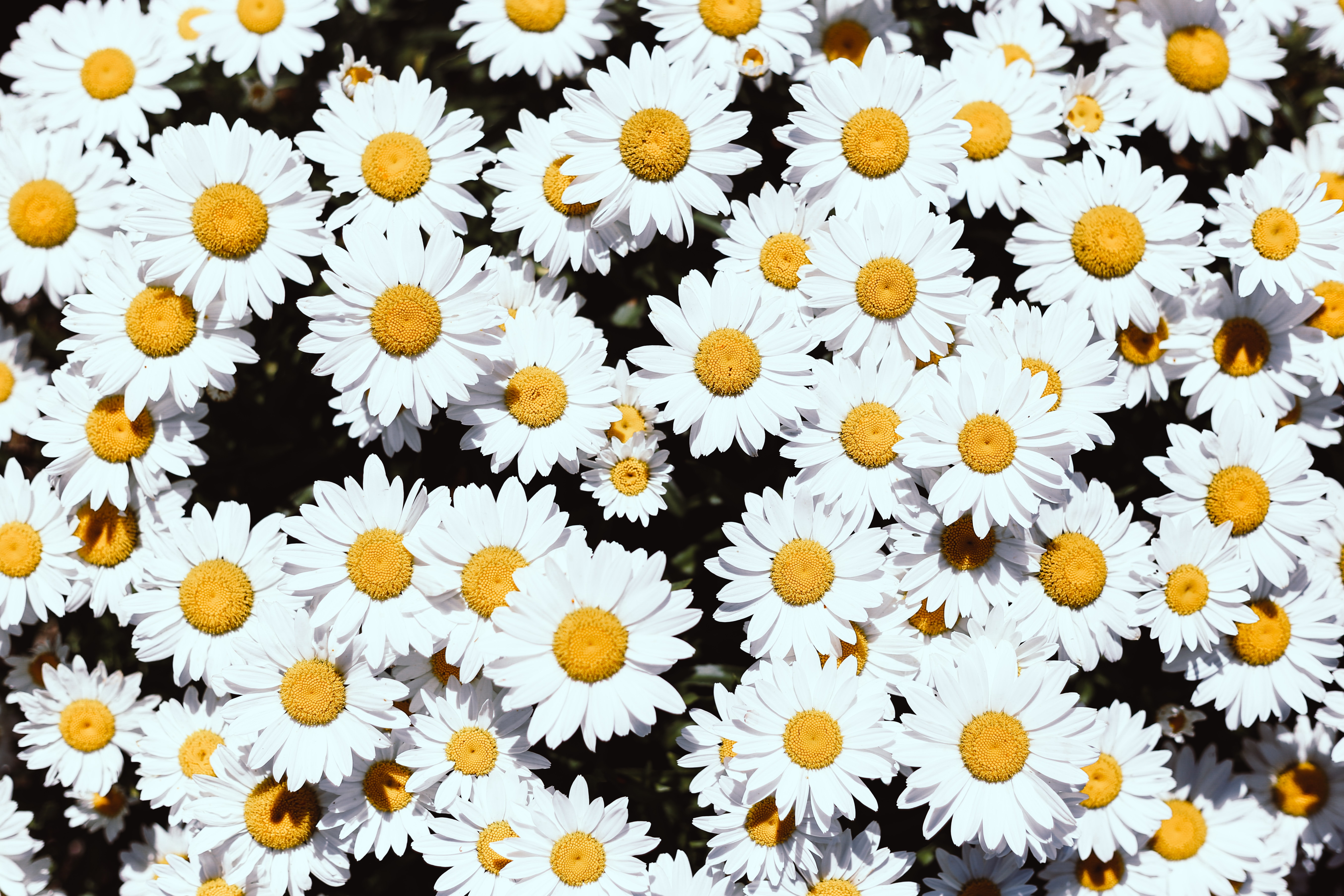 121365 скачать обои Цветы, Ромашки, Растения, Белый, Цветение - заставки и картинки бесплатно