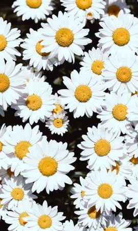 121365 скачать обои Цветы, Ромашки, Белый, Цветение, Растения - заставки и картинки бесплатно