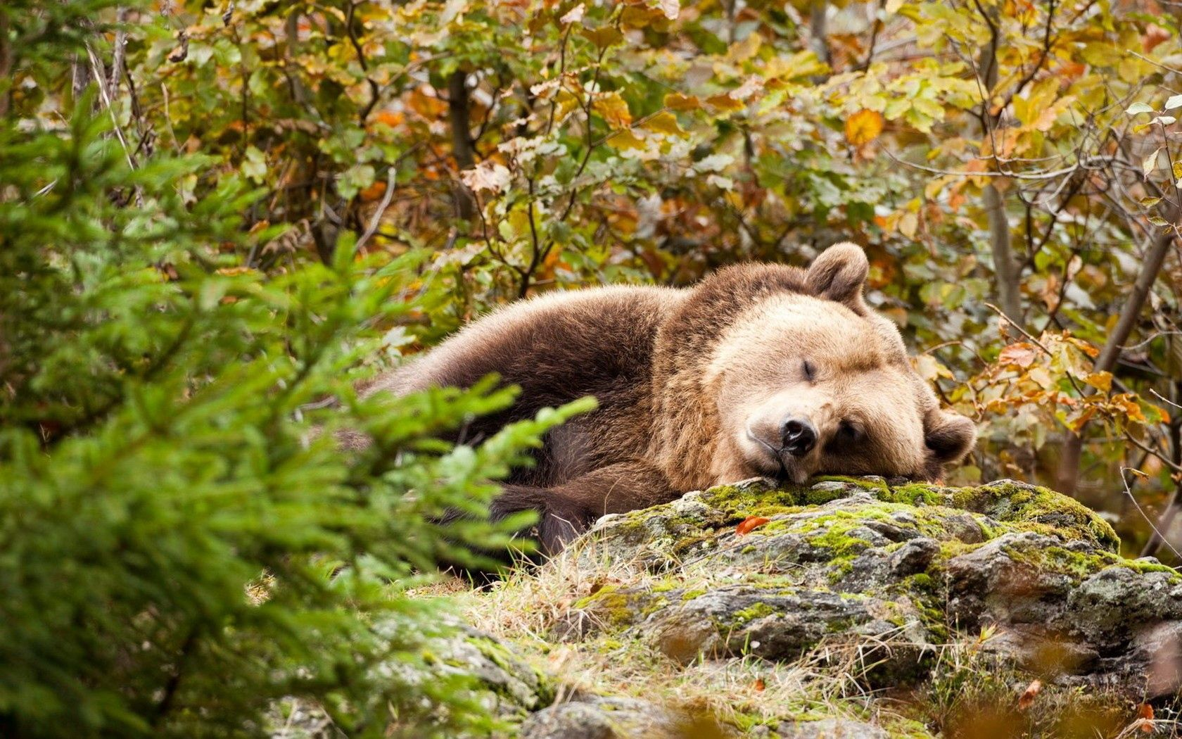 84839 Screensavers and Wallpapers Bear for phone. Download Animals, Grass, Stones, To Lie Down, Lie, Bear, Moss pictures for free