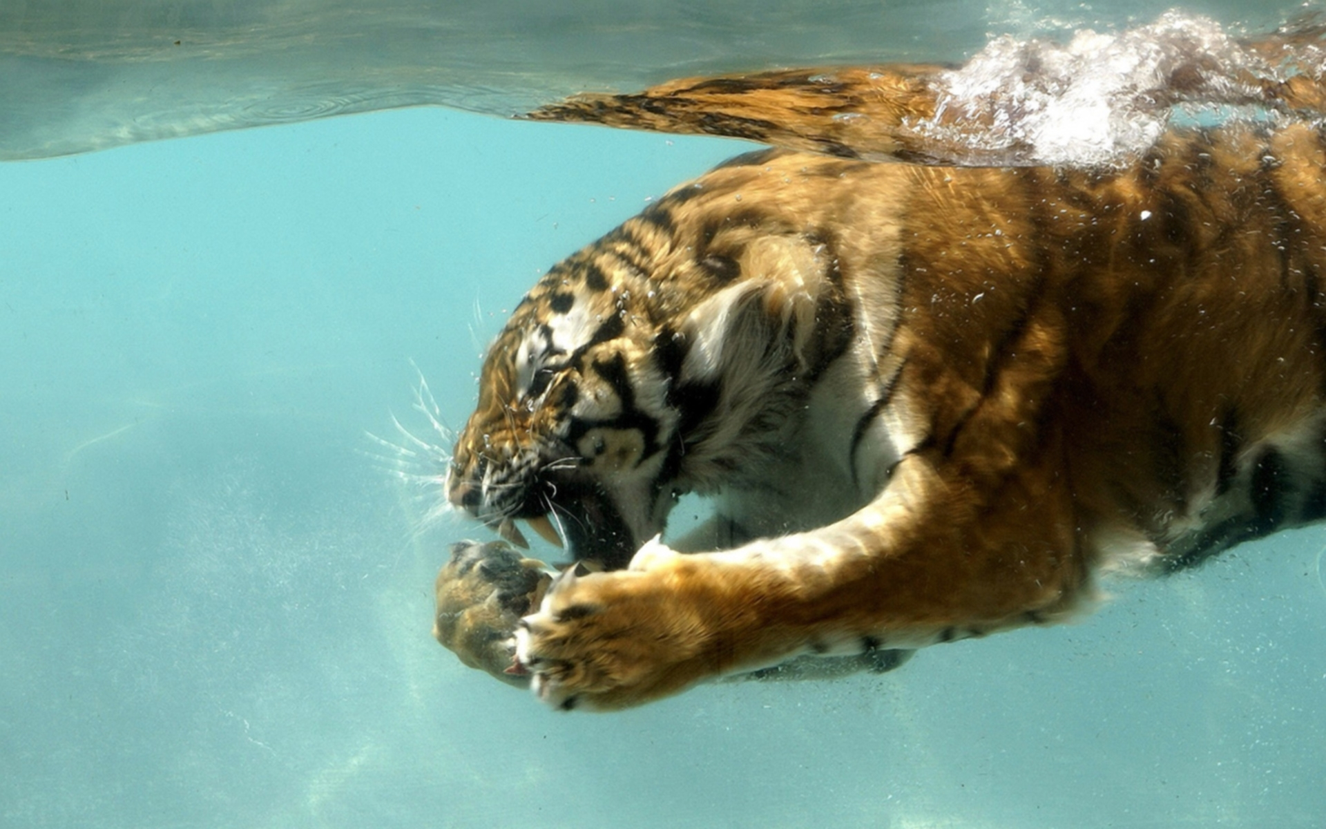 47462 download wallpaper Animals, Tigers screensavers and pictures for free