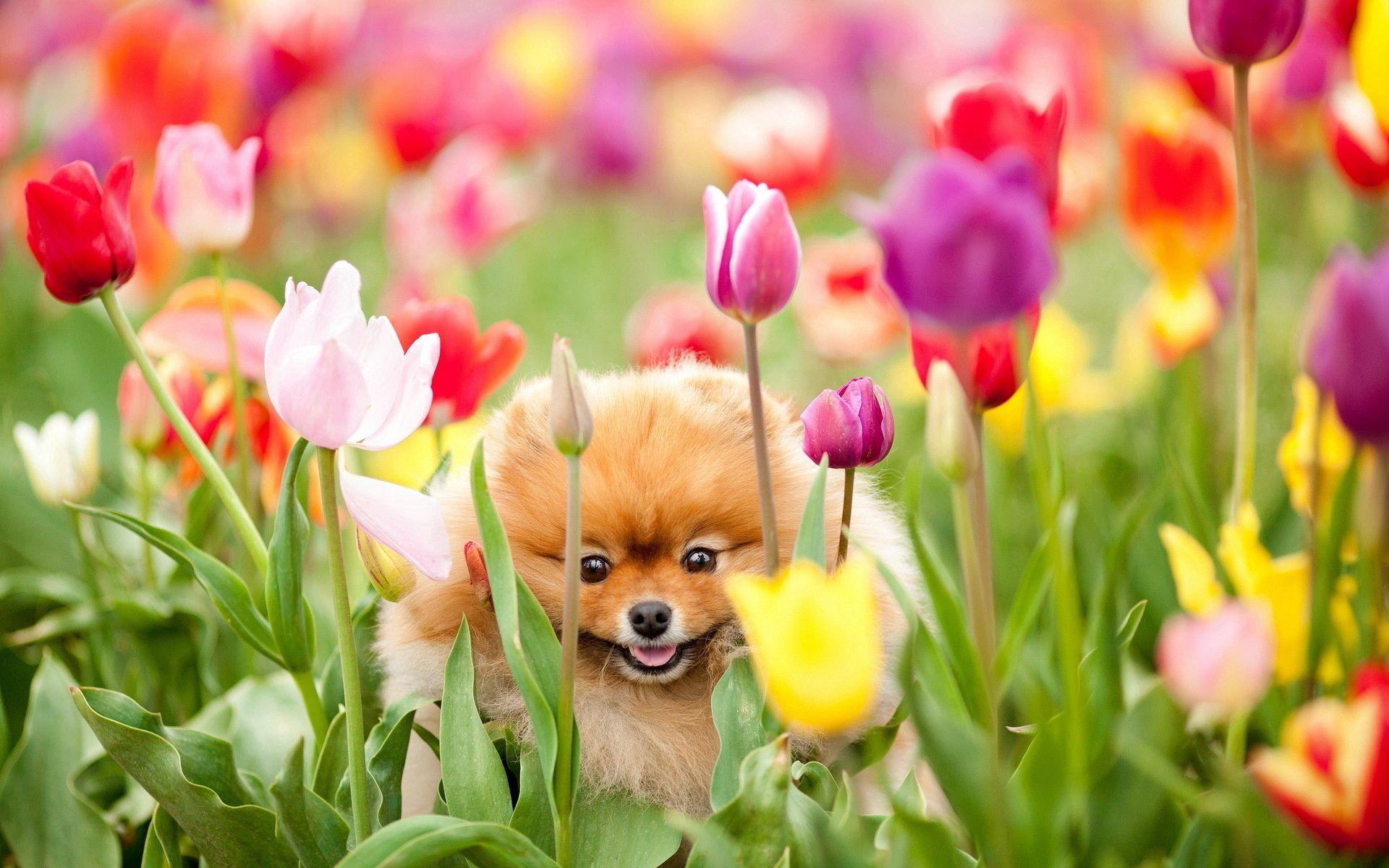 129440 Hintergrundbild herunterladen Hund, Blumen, Tiere, Tulpen, Feld, Hündchen, Welpen - Bildschirmschoner und Bilder kostenlos
