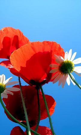 137326 скачать обои Цветы, Ромашки, Маки, Небо, Голубое, Природа - заставки и картинки бесплатно