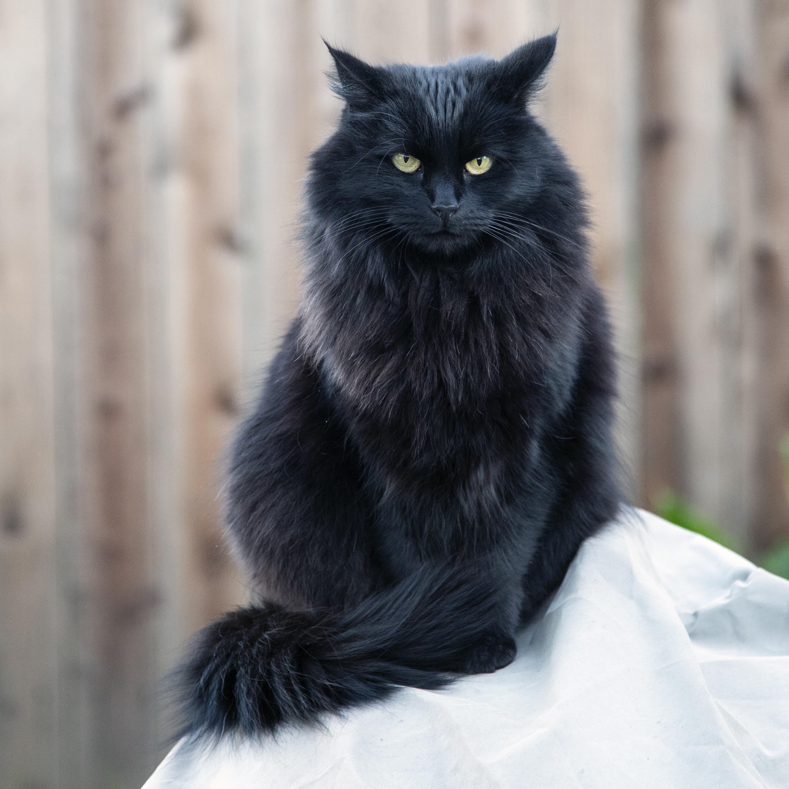 152629 скачать обои Животные, Кот, Черный Кот, Пушистый, Взгляд, Сердитый - заставки и картинки бесплатно