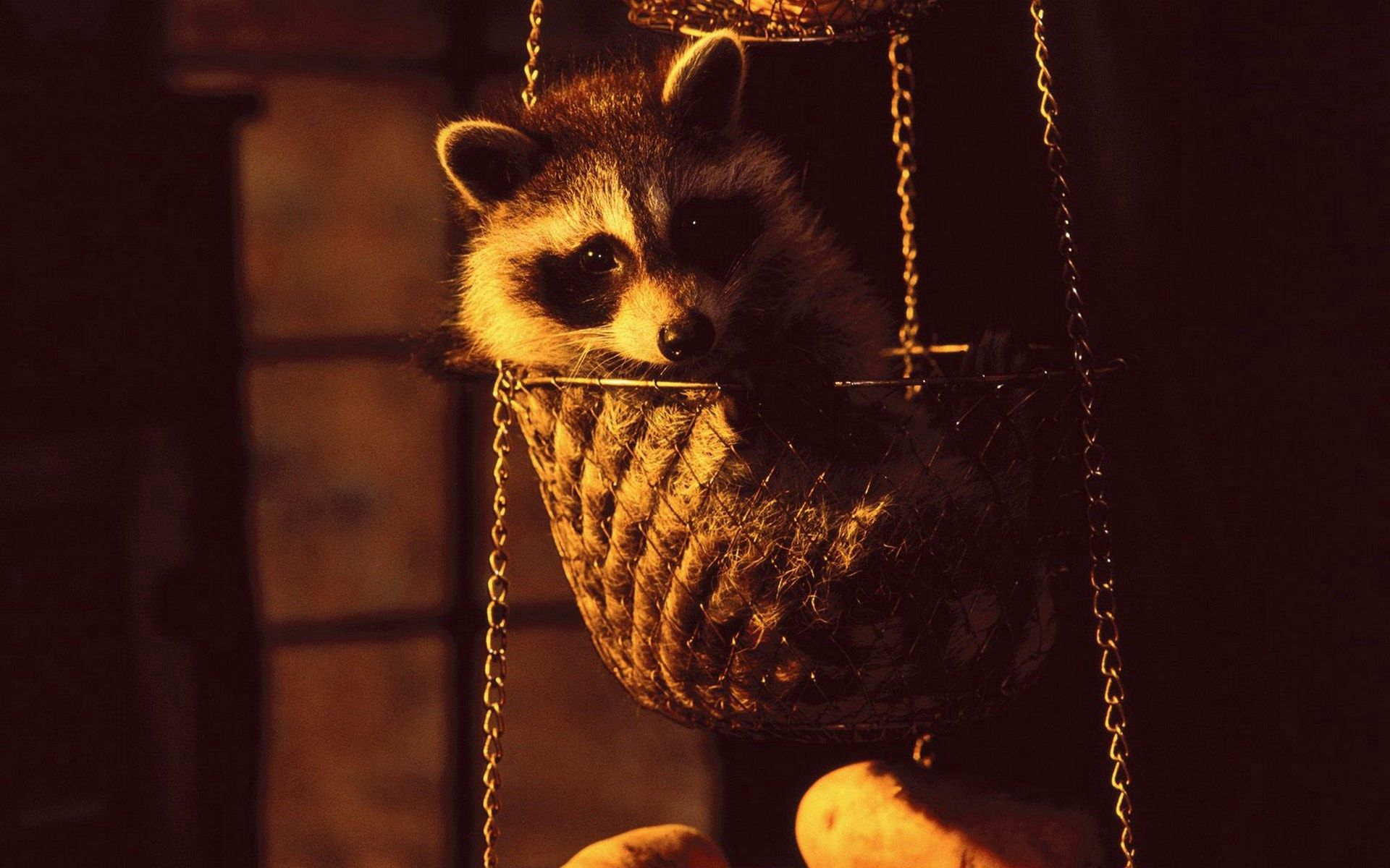 150096 Screensavers and Wallpapers Raccoon for phone. Download Dark, Shadow, Animal, Scales, Raccoon, Libra pictures for free