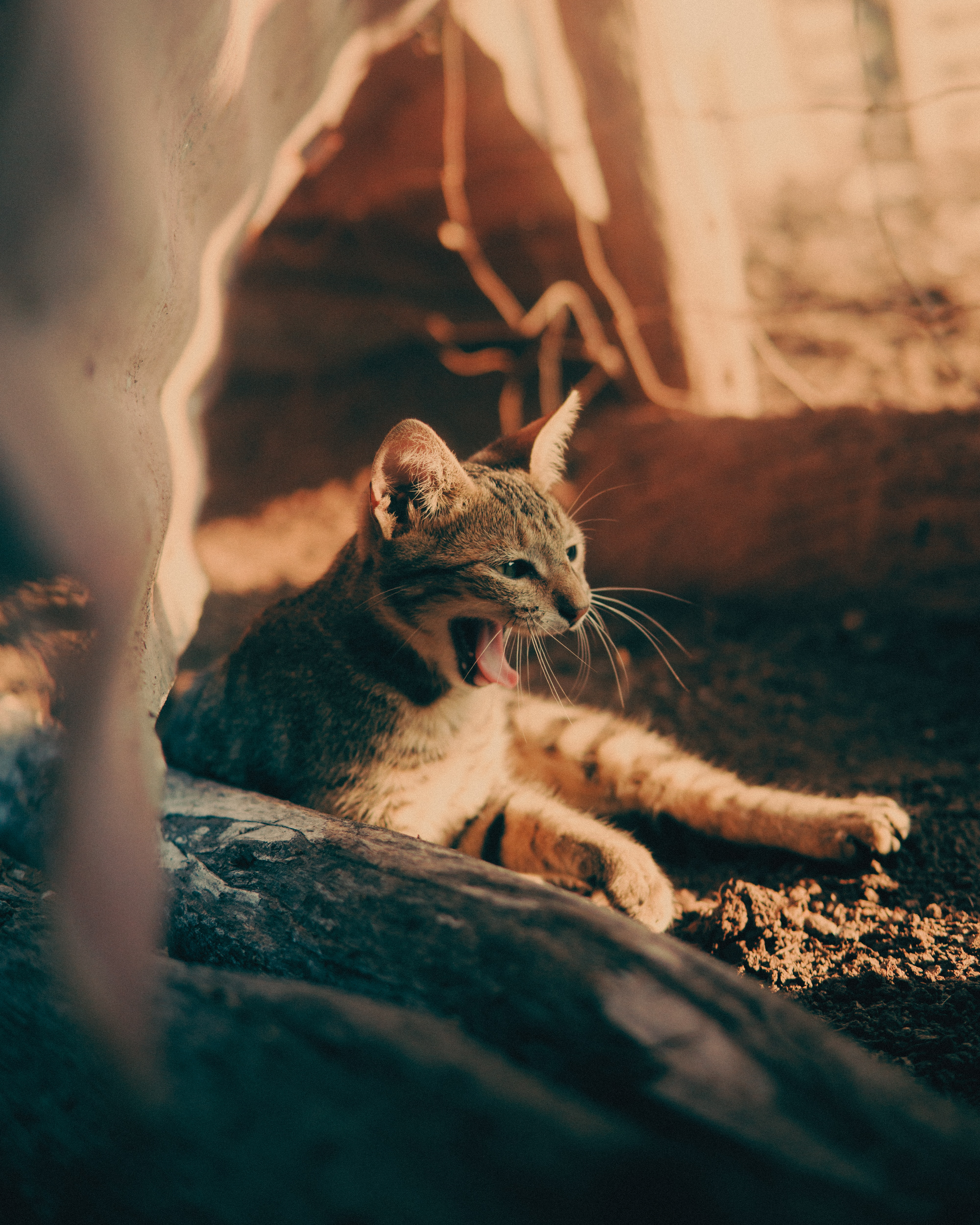 64501 download wallpaper Animals, Cat, Zev, Throat, Protruding Tongue, Tongue Stuck Out, Pet screensavers and pictures for free