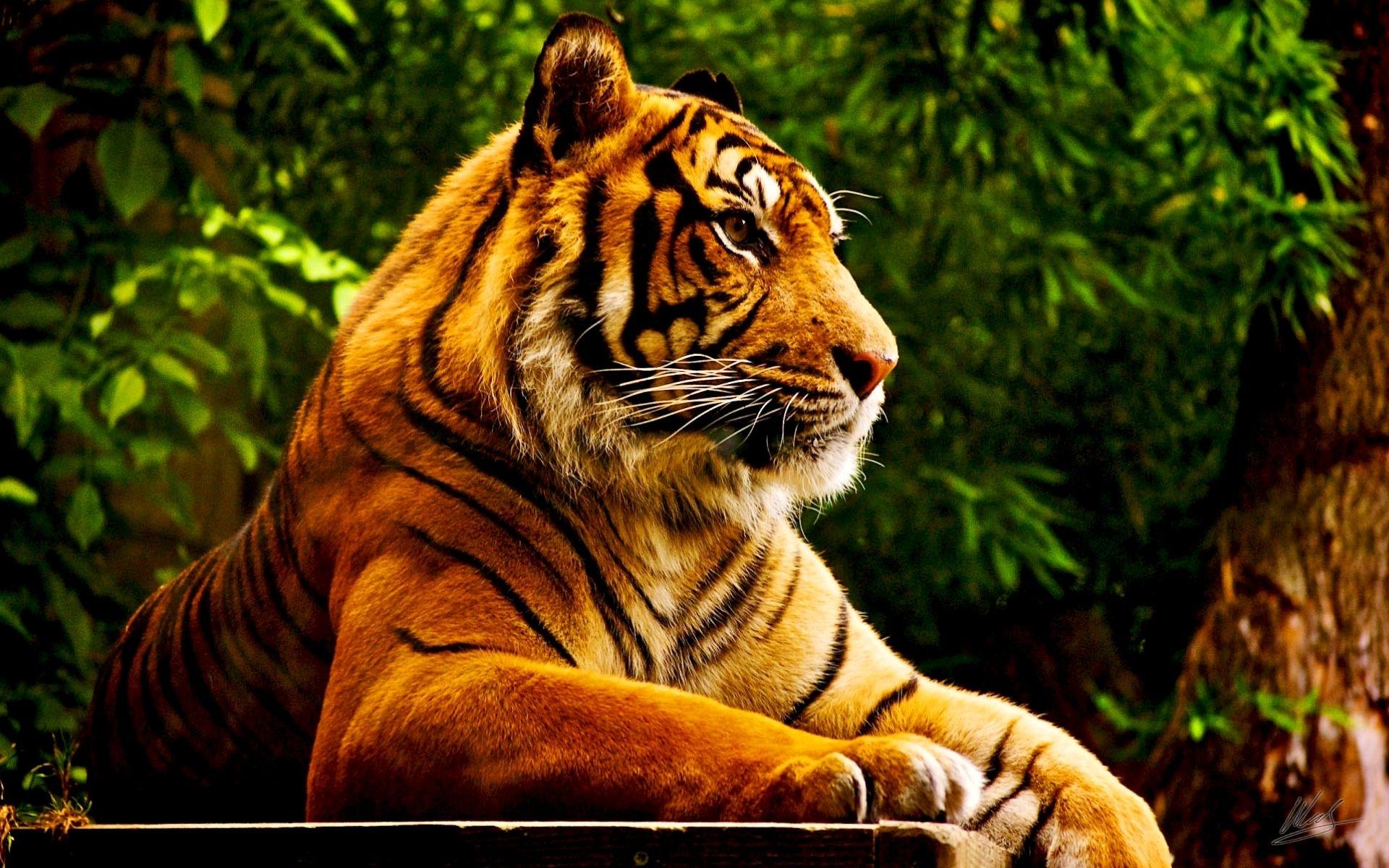 24572 descargar fondo de pantalla Animales, Tigres: protectores de pantalla e imágenes gratis
