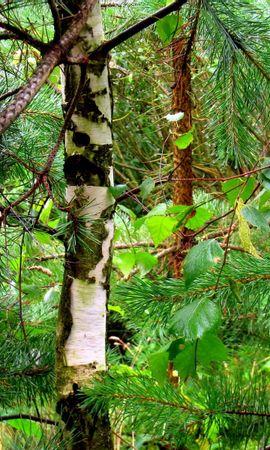 7985 скачать обои Растения, Природа, Деревья, Елки - заставки и картинки бесплатно