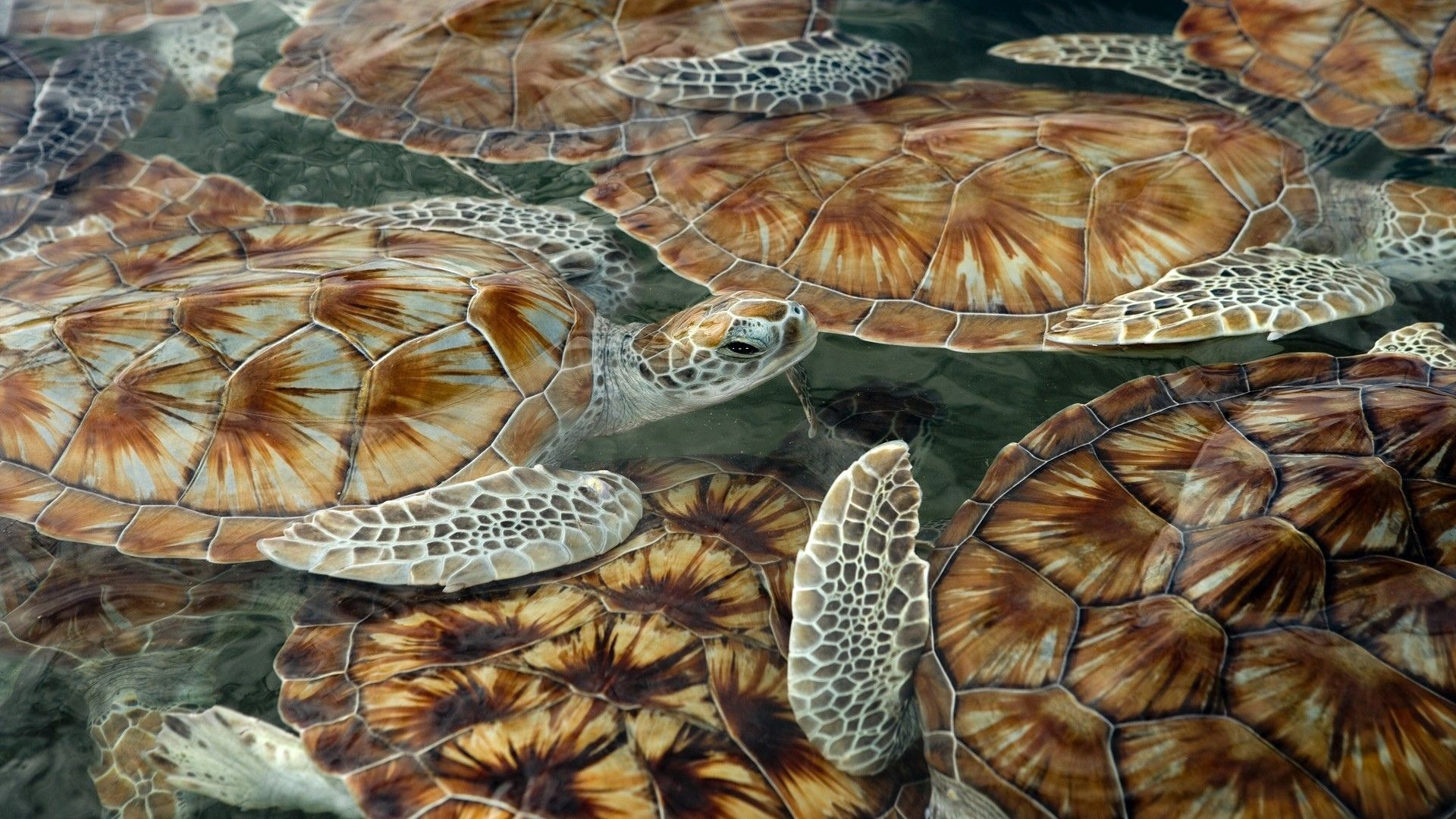 119313 download wallpaper Animals, Turtles, Sea, Swim, Float screensavers and pictures for free
