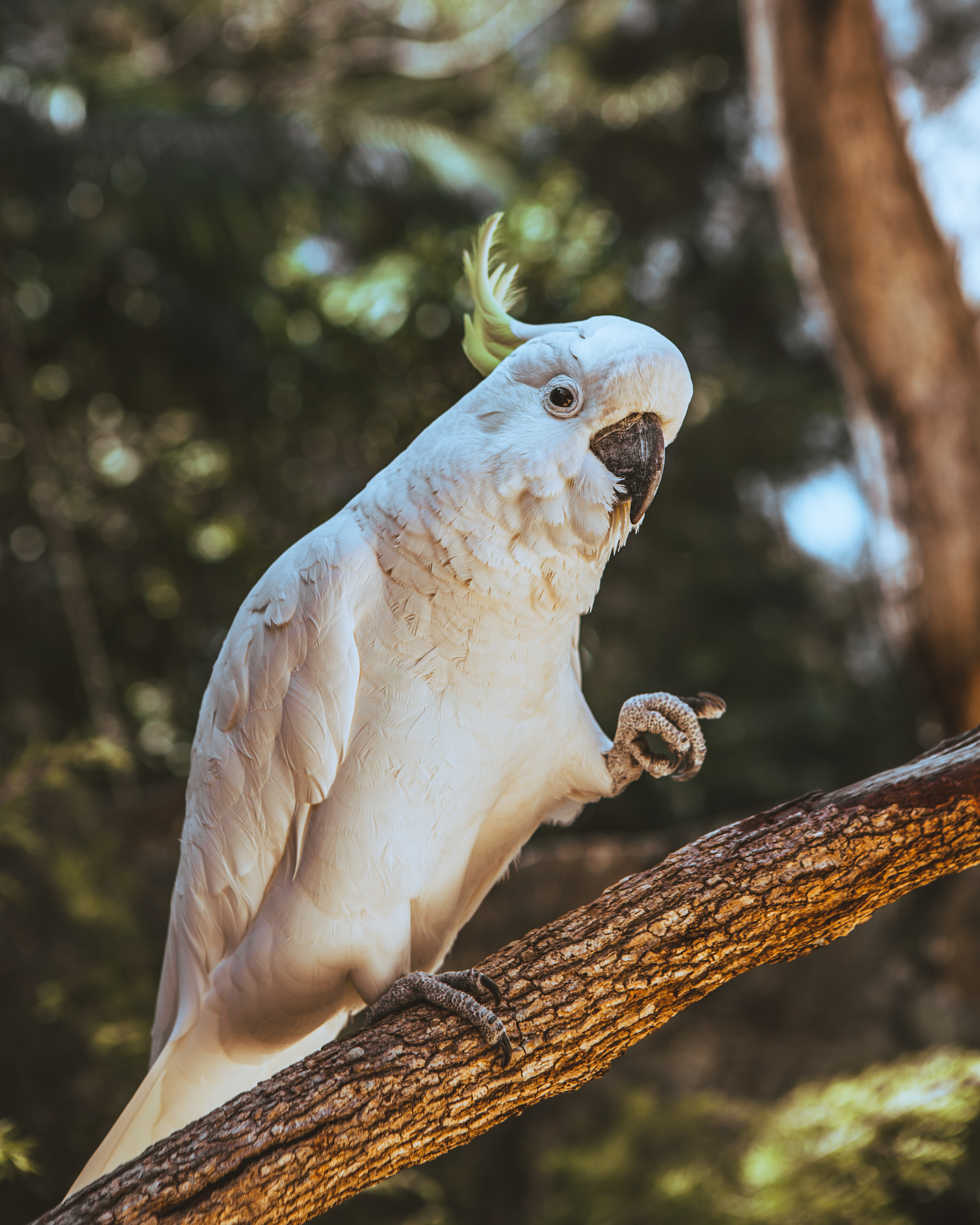81785 download wallpaper Animals, Cockatoo, Parrots, Bird, Funny screensavers and pictures for free