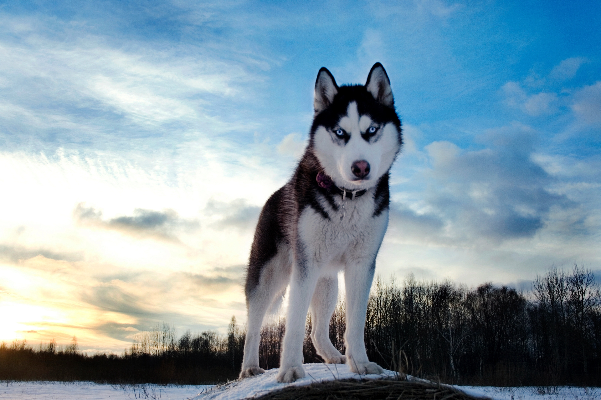 99592 Screensavers and Wallpapers Husky for phone. Download Animals, Sky, Snow, Dog, Husky, Haska, Blue Eyed, Blue-Eyed pictures for free