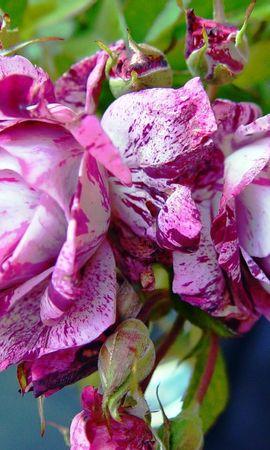 41109 télécharger le fond d'écran Plantes, Fleurs - économiseurs d'écran et images gratuitement