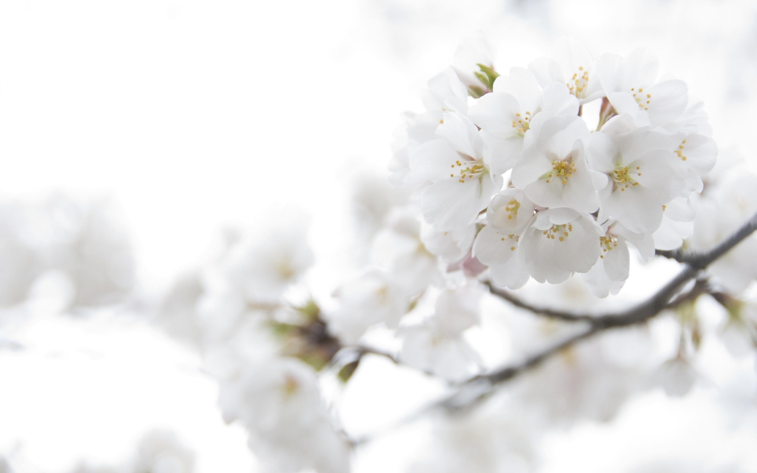 42921 скачать Белые обои на телефон бесплатно, Растения, Цветы Белые картинки и заставки на мобильный