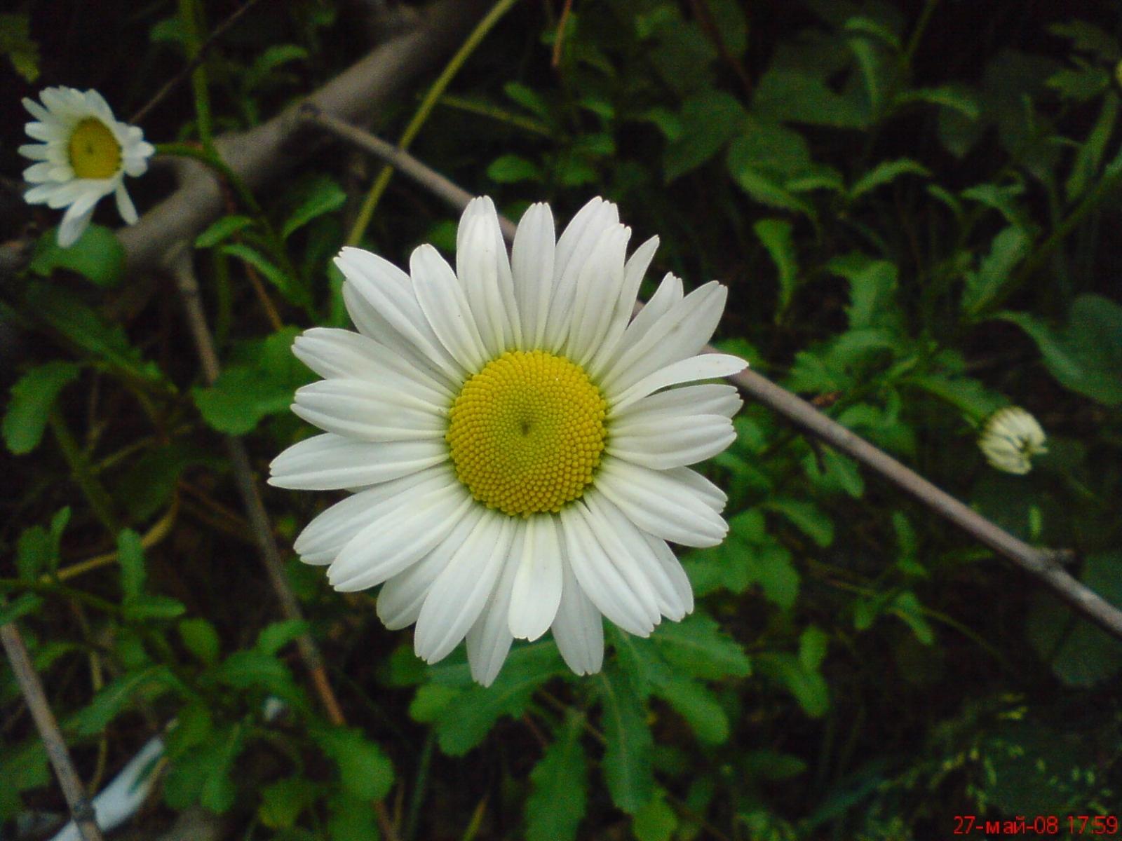 4691 скачать обои Растения, Цветы, Ромашки - заставки и картинки бесплатно