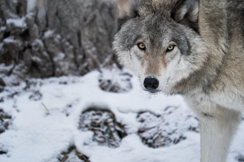 92915 Заставки и Обои Зима на телефон. Скачать Животные, Волк, Хищник, Снег, Зима, Белый, Дикая Природа картинки бесплатно