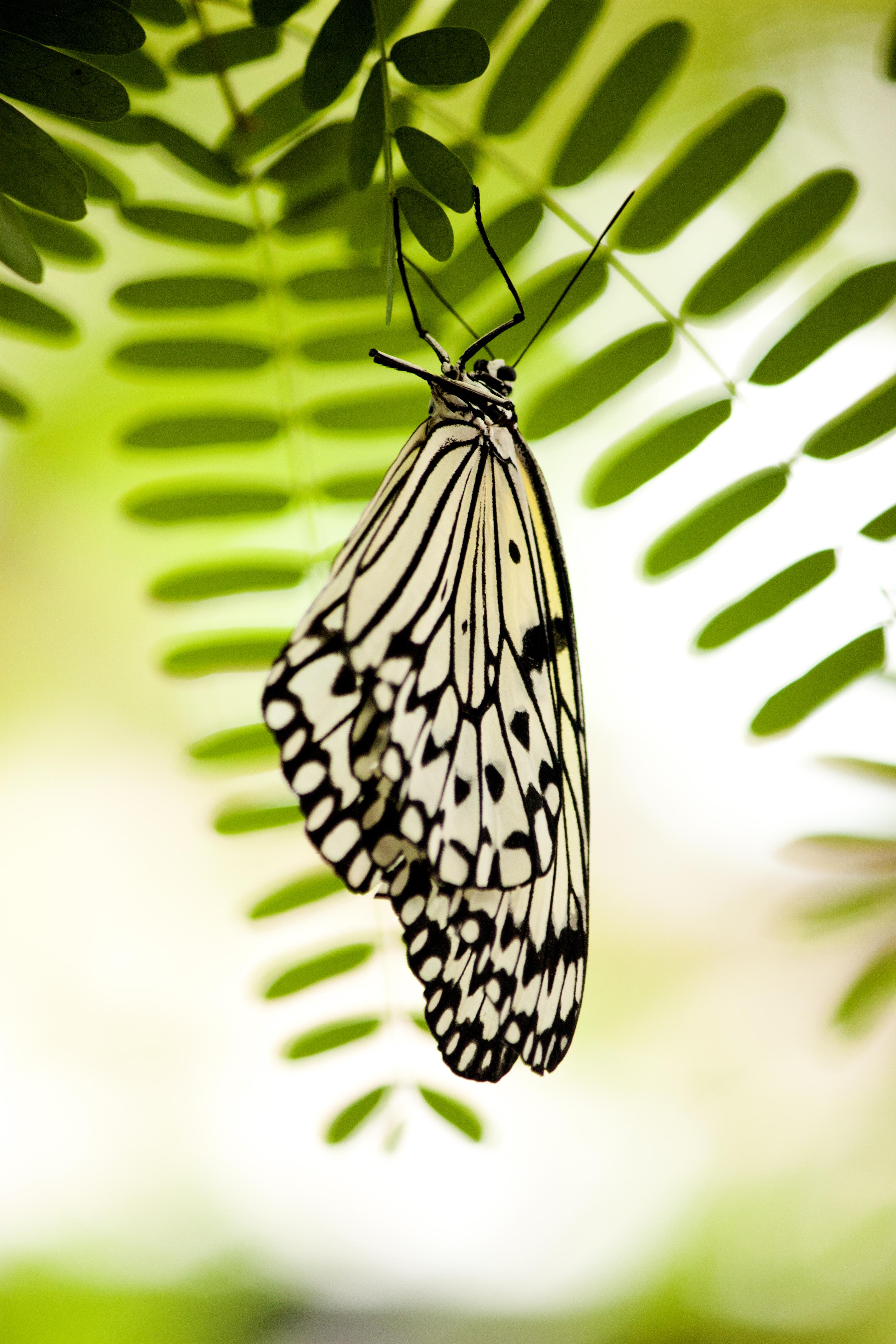 手機的126224屏保和壁紙昆虫。 免費下載 宏, 蝴蝶, 白色的, 昆虫 圖片