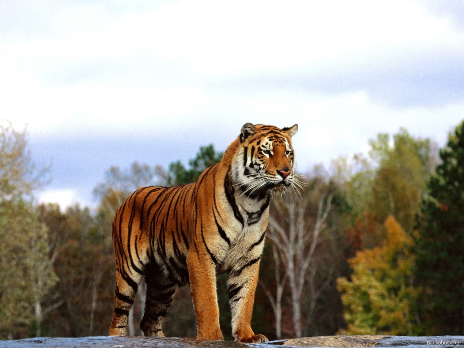 2294 download wallpaper Animals, Tigers screensavers and pictures for free