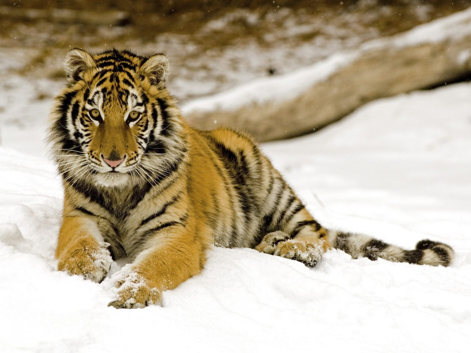 154973 download wallpaper Animals, Tiger, Snow, Young, Joey, Predator screensavers and pictures for free