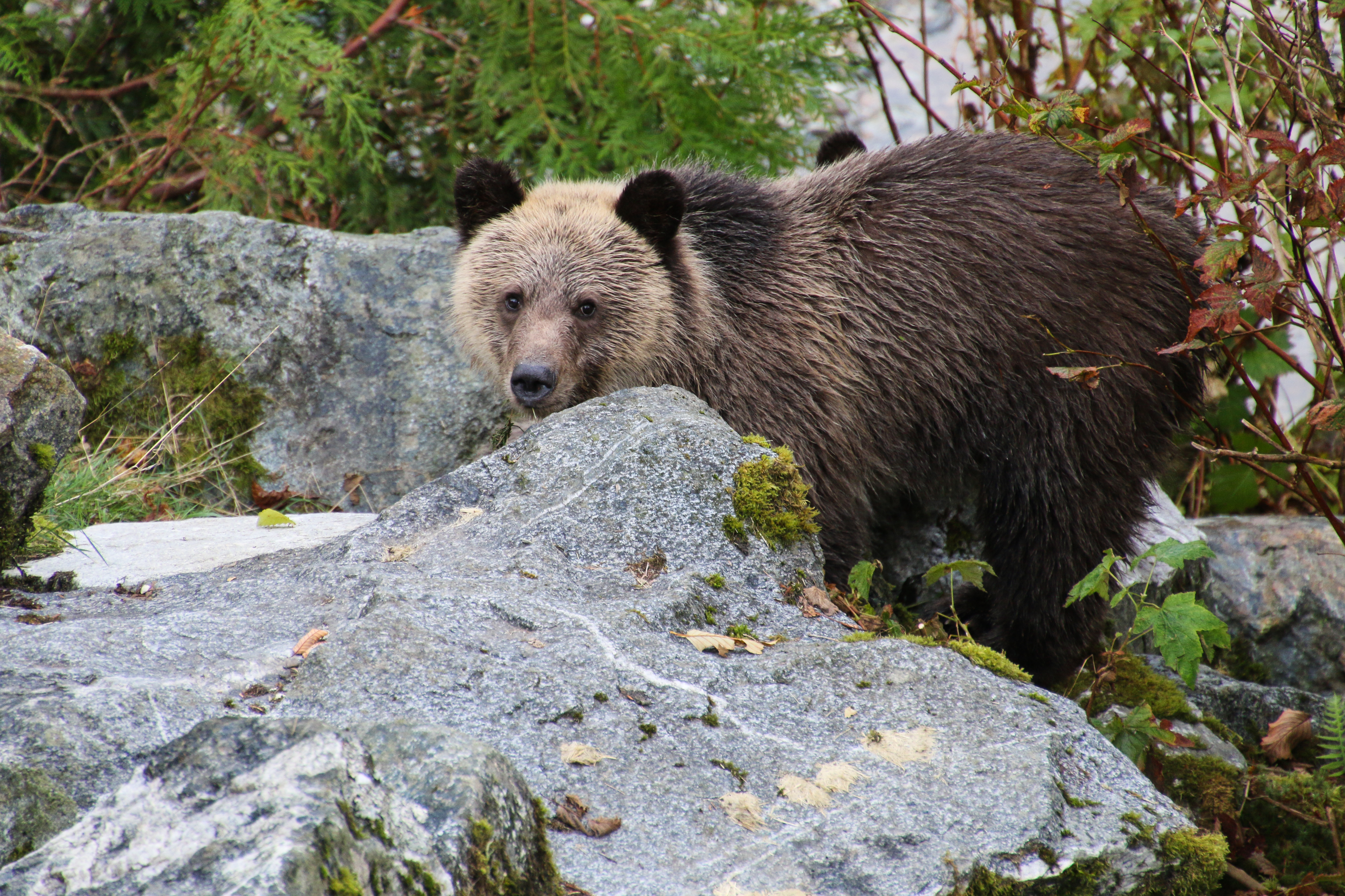 53641 download wallpaper Animals, Bear, Brown Bear, Muzzle, Nice, Sweetheart screensavers and pictures for free